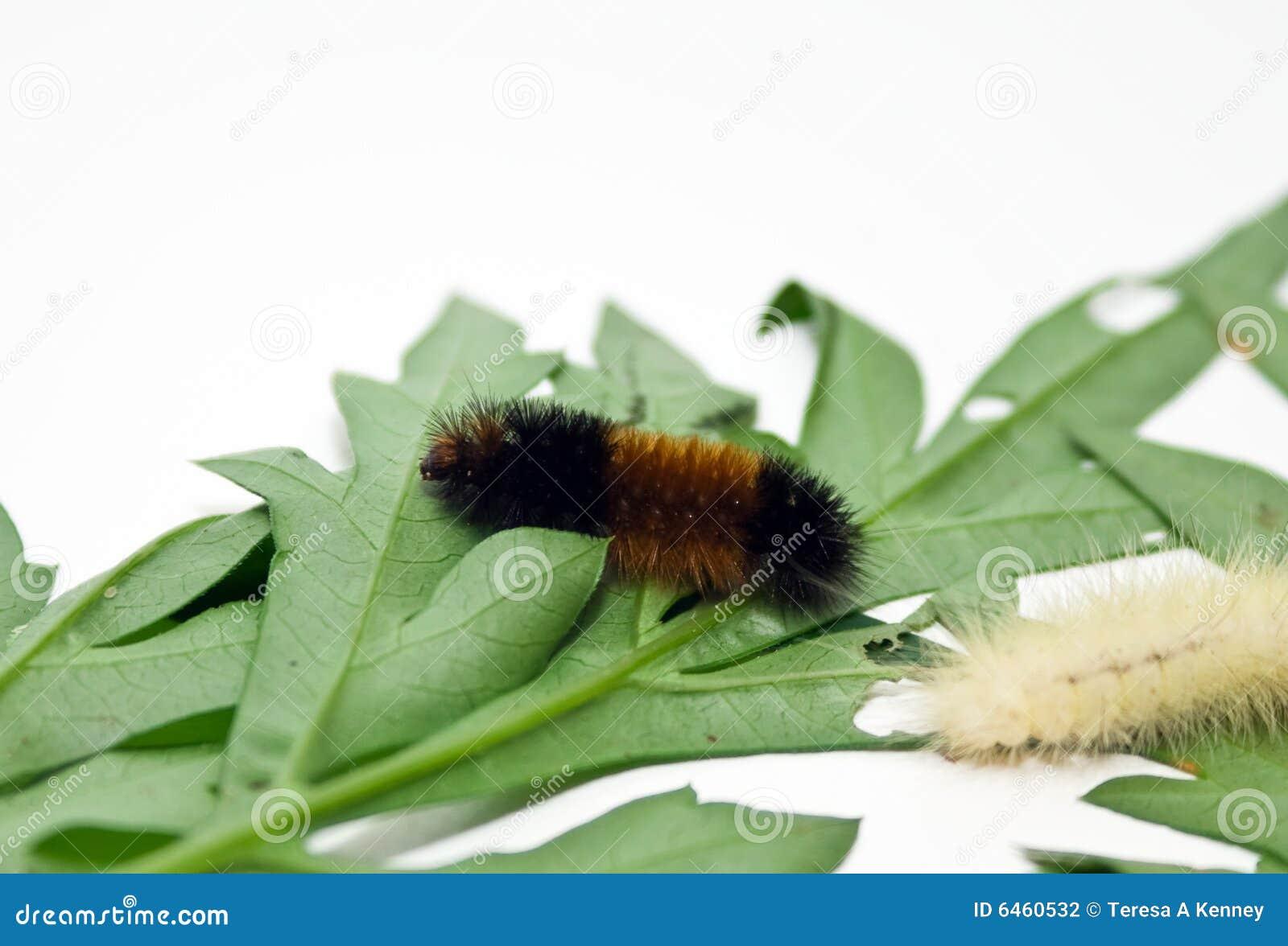 Gąsienice zwełnione