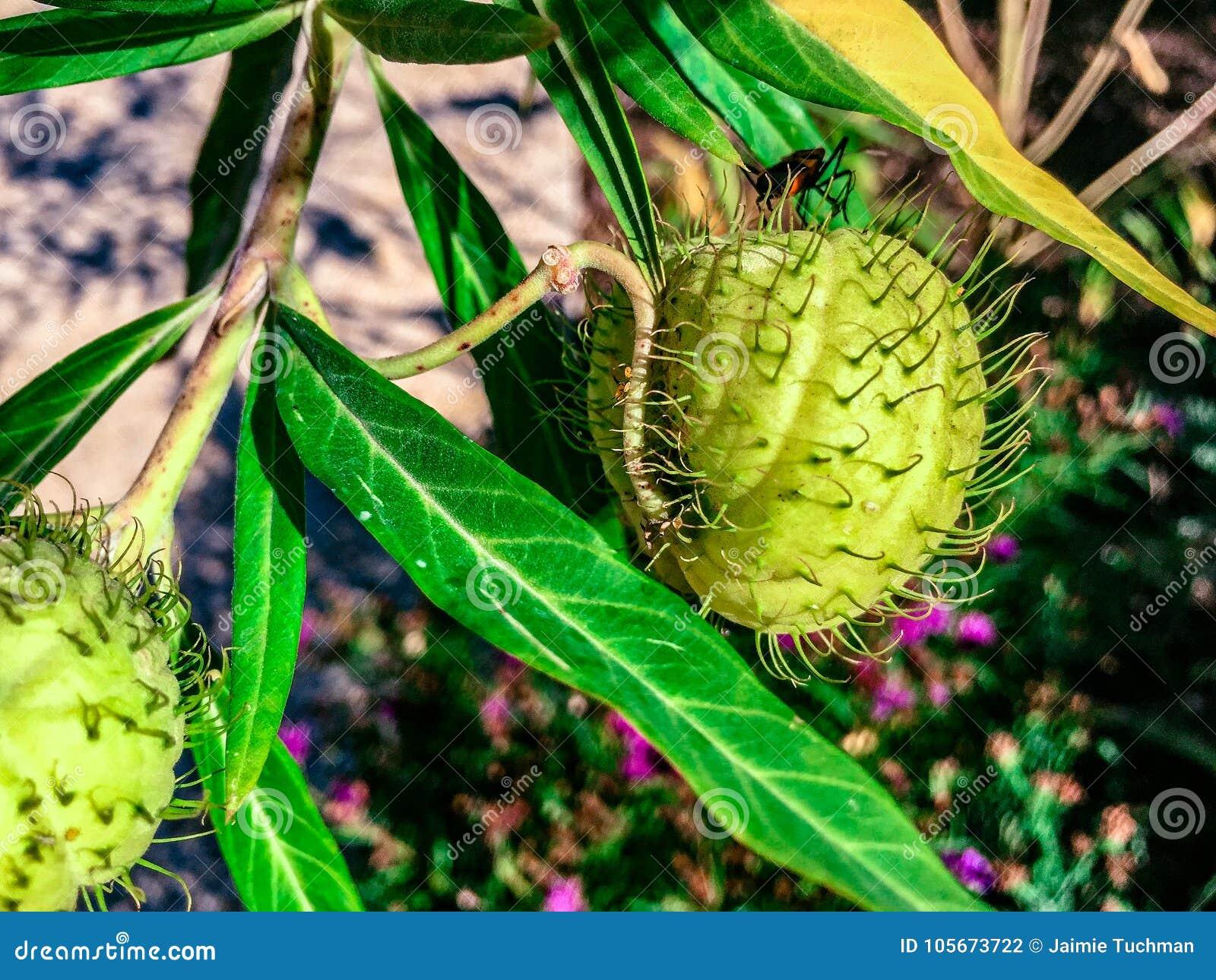 Gąsienicowy czołganie na cierniowatej roślinie
