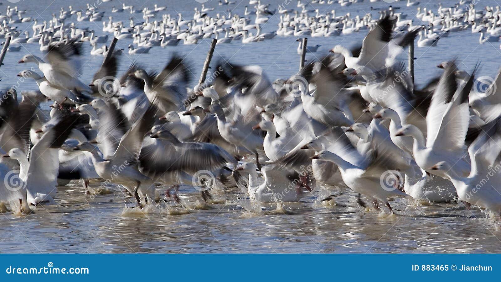 Gęsi 2 migracji groszkują trochę śniegu