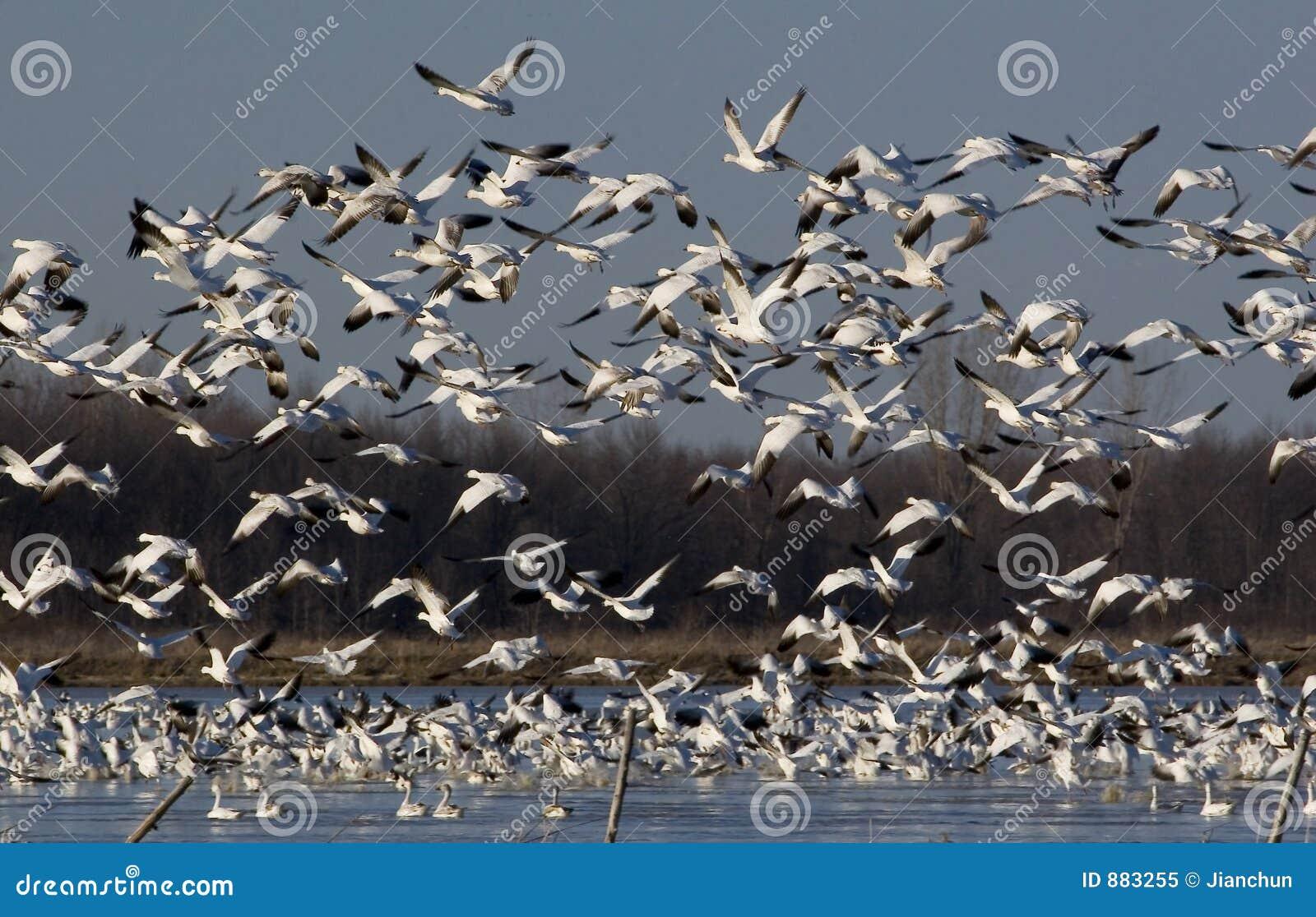 Gęsi migration1 śnieg