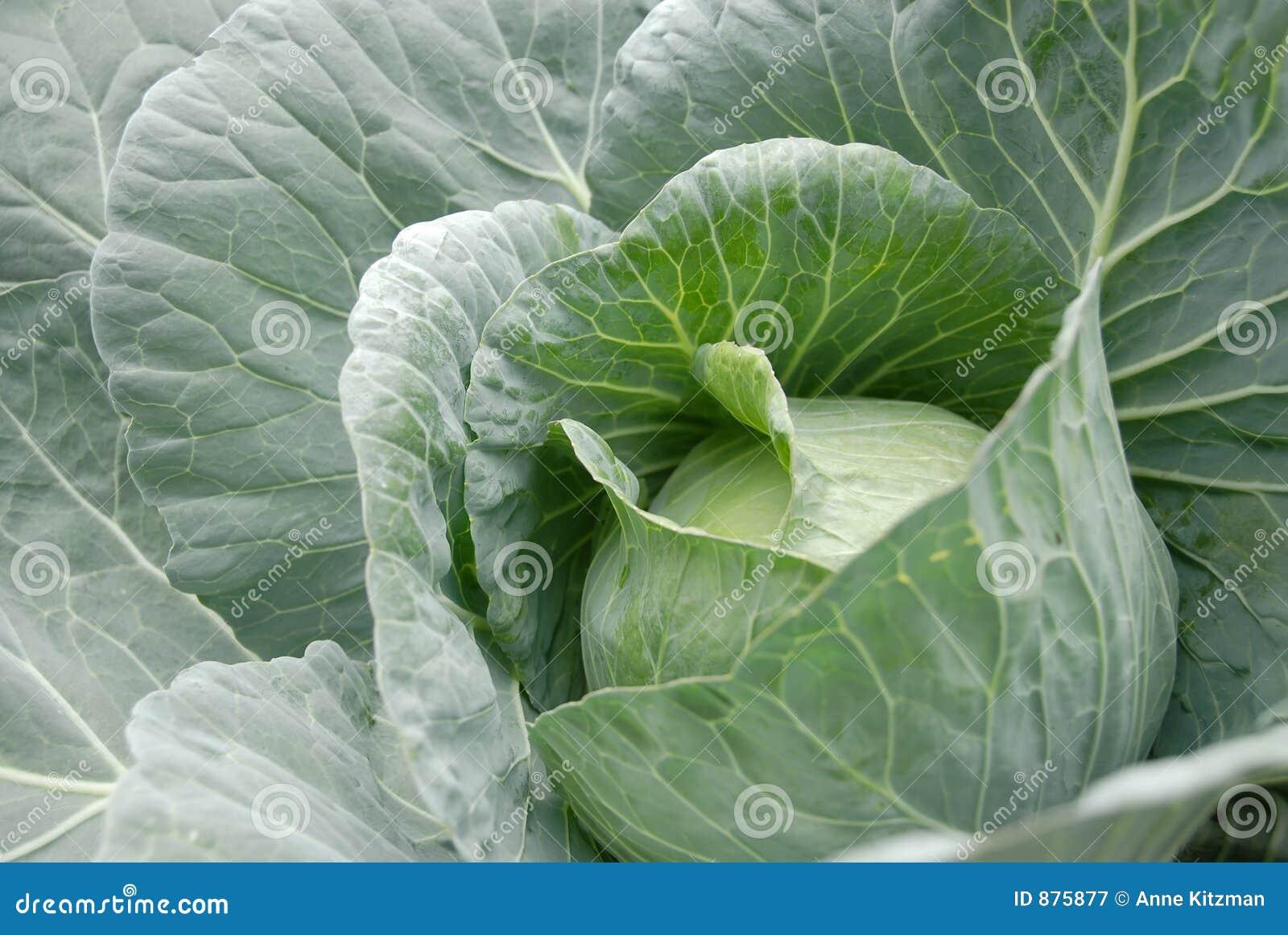 Główny warzyw kapustę