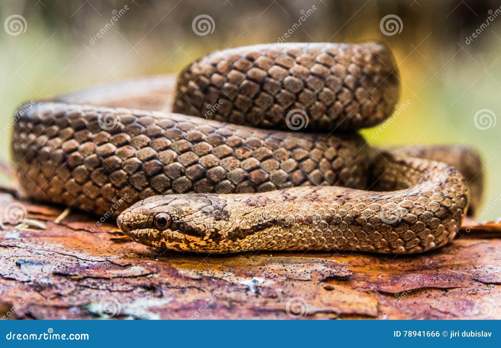 Gładkie węża