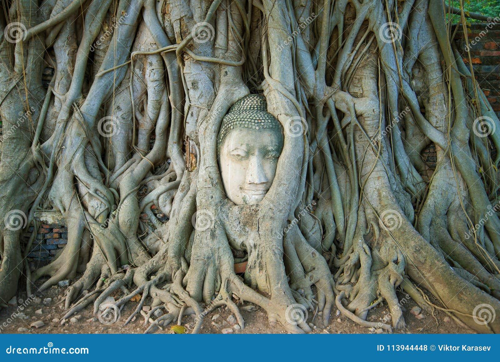 Głowa antyczna Buddha rzeźba jest wrośnięta w korzenie drzewo Symbol miasto Ayutthaya, Tajlandia