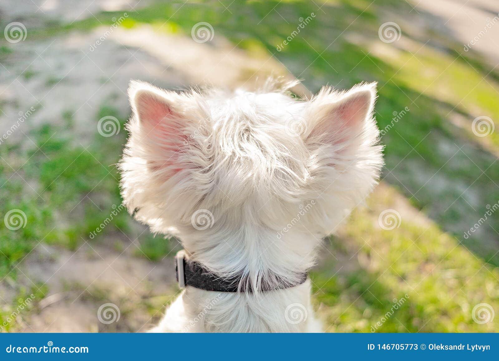Głowa biały puszysty pies z wielkimi trójgraniastymi sterczącymi ucho