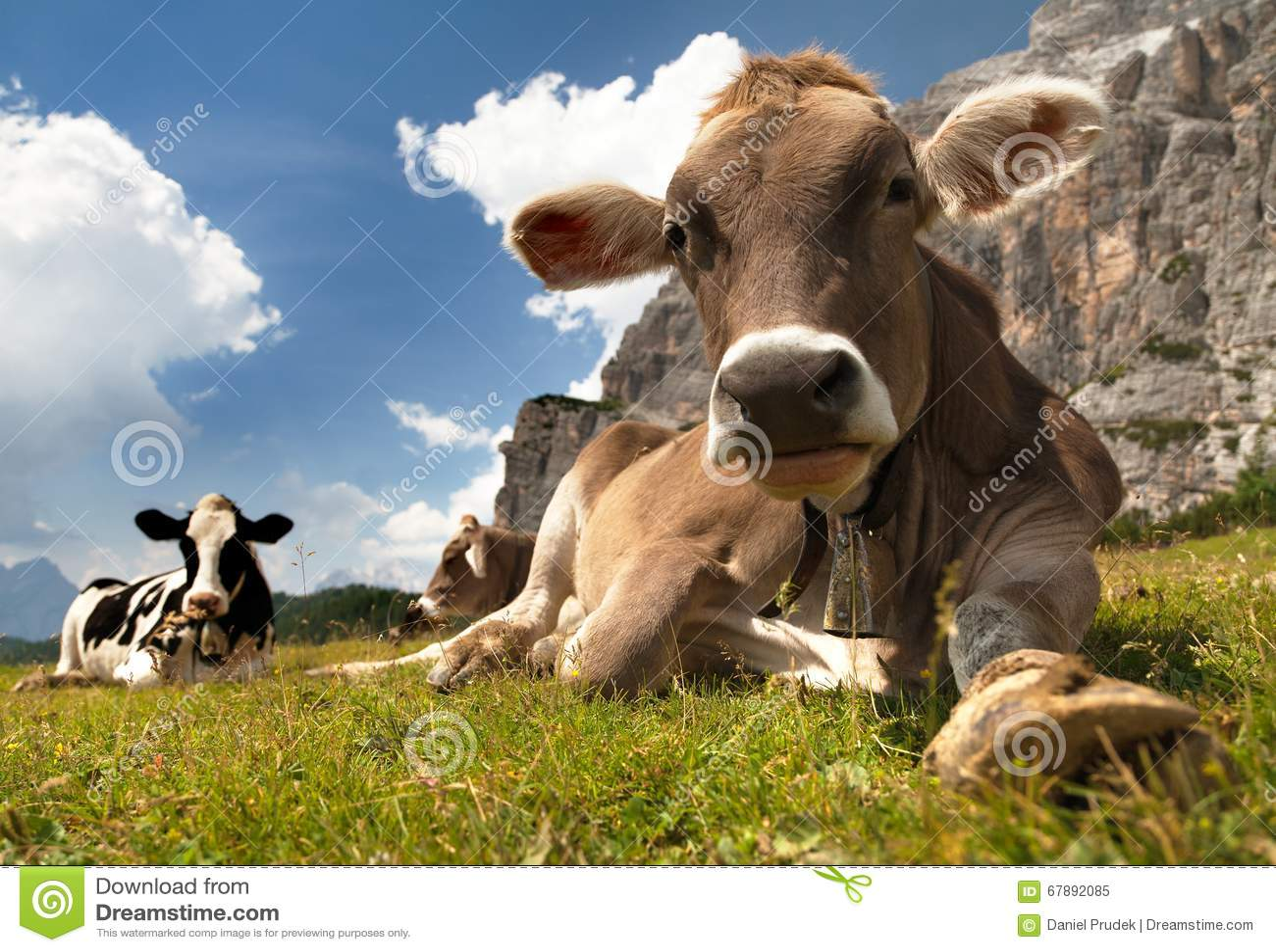 Głowa brown krowa z cowbell, (bos primigenius taurus)