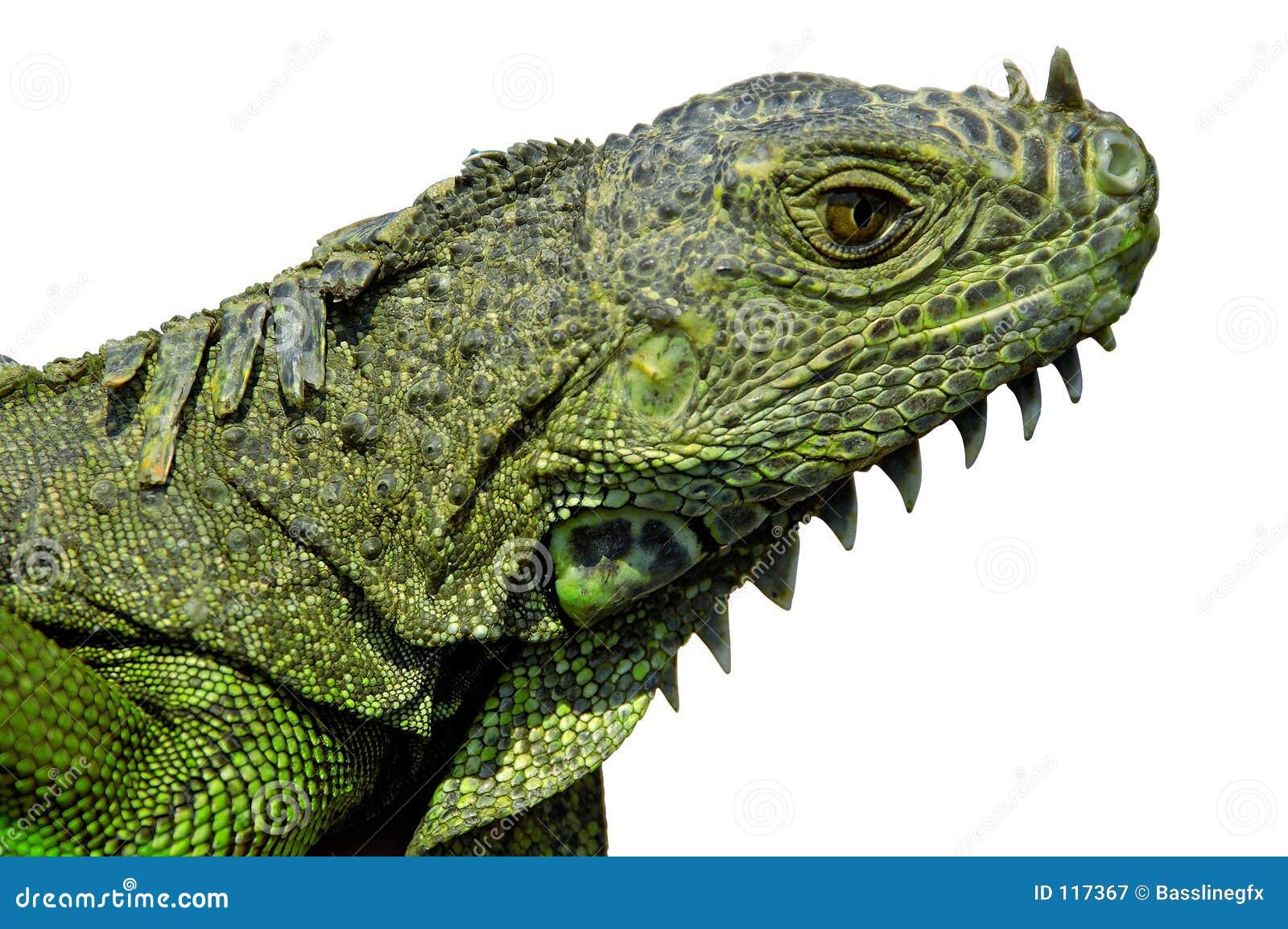 Głowa iguan ścieżek