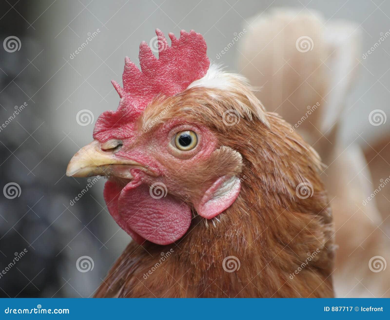 Głowa kurczaka