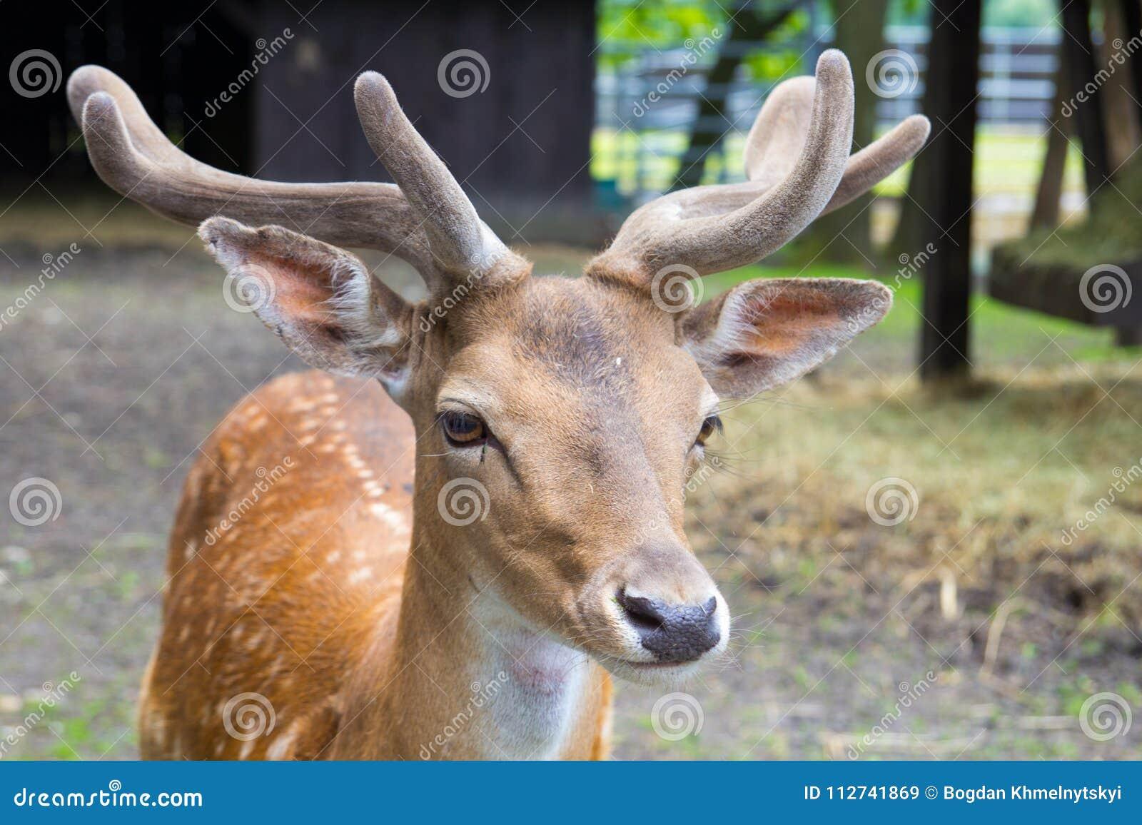 Głowa młody królewiątka ` s rogacz z poroże, deere przy zoo