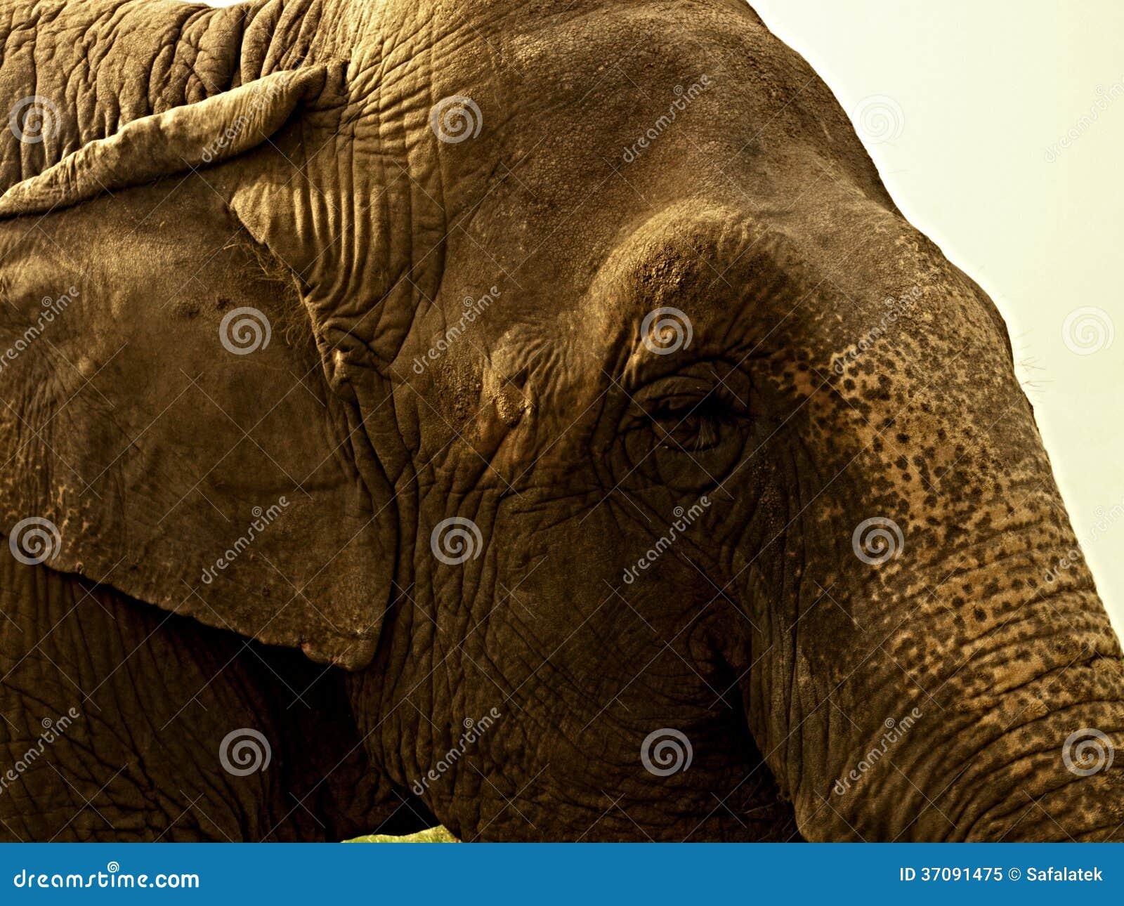 Download Głowa słoń obraz stock. Obraz złożonej z zwierzę, grupa - 37091475