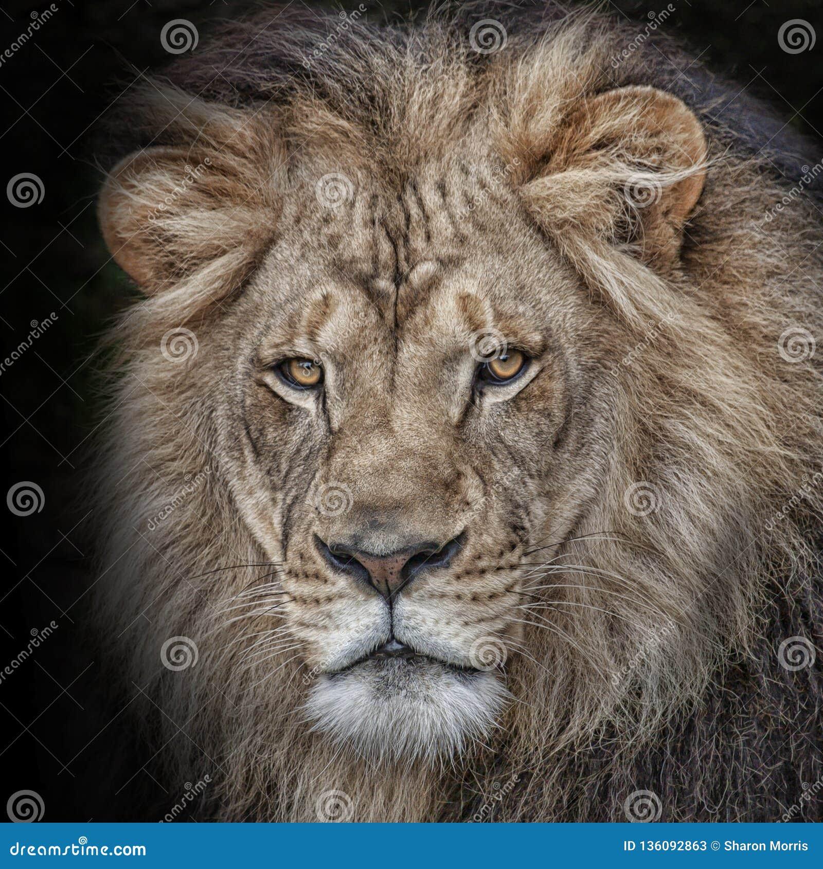 Głowa strzelająca męski lew