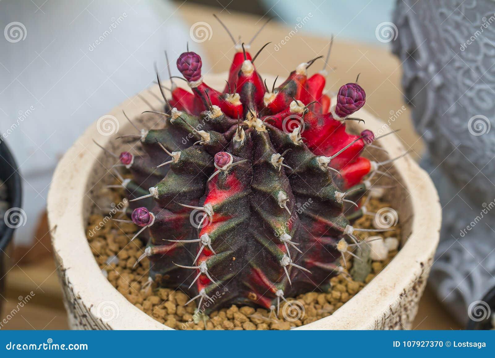 G cactus del mihanovichii