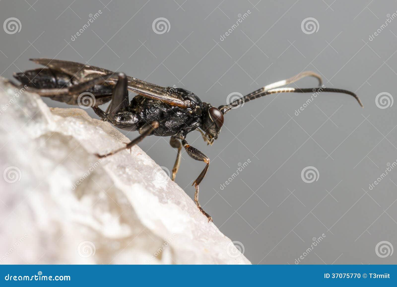 Download Gąsienicznik Osa (Coelichneumon Altówka) Zdjęcie Stock - Obraz złożonej z natura, tło: 37075770