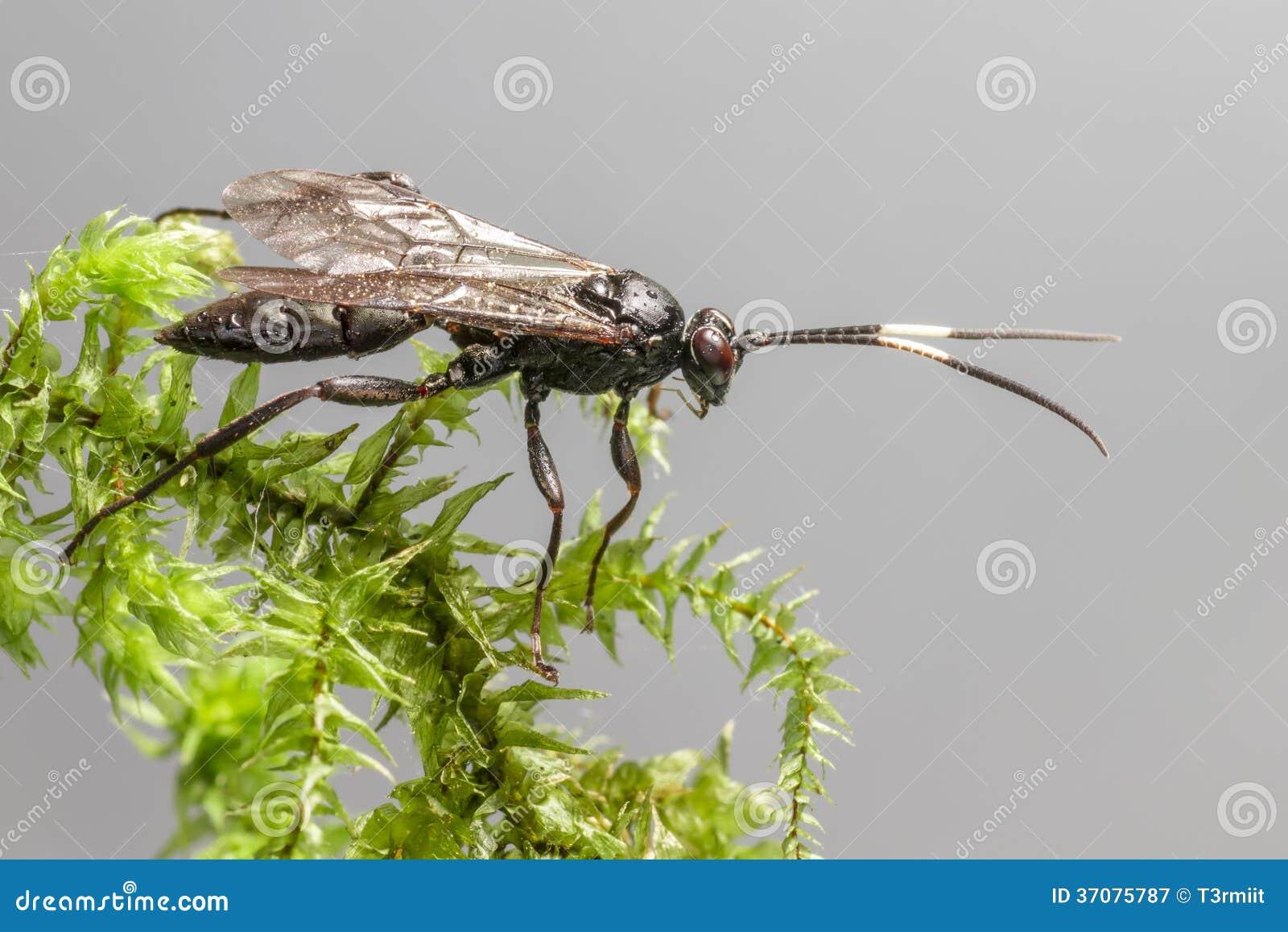 Download Gąsienicznik Osa (Coelichneumon Altówka) Obraz Stock - Obraz złożonej z tło, bada: 37075787