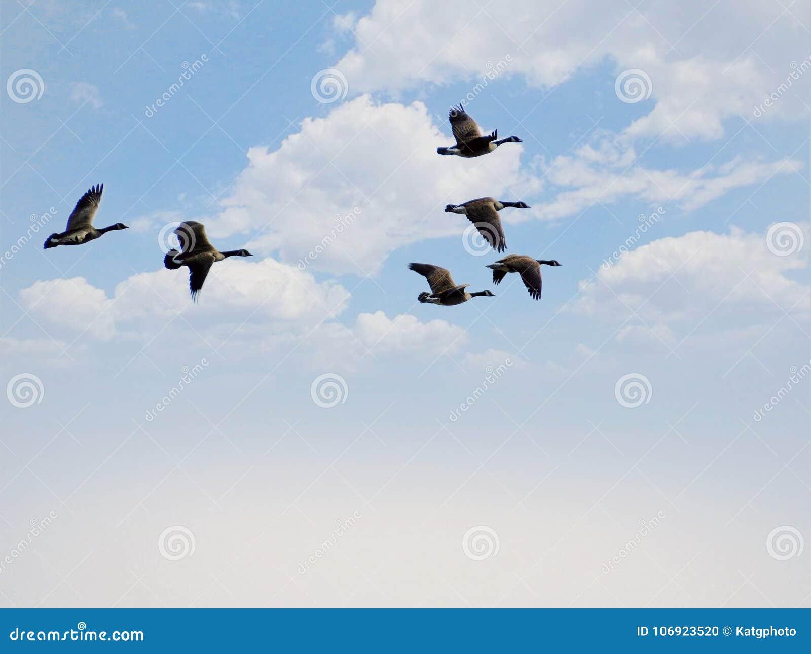 Gąska ptaki Lata Przez chmur