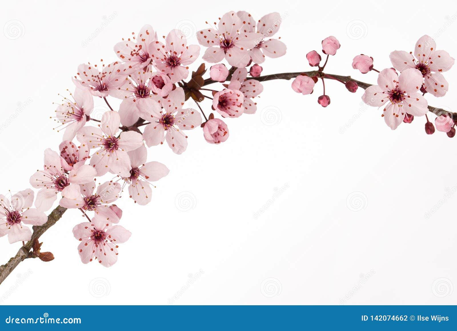Gałąź Japoński czereśniowy okwitnięcie z białym tłem
