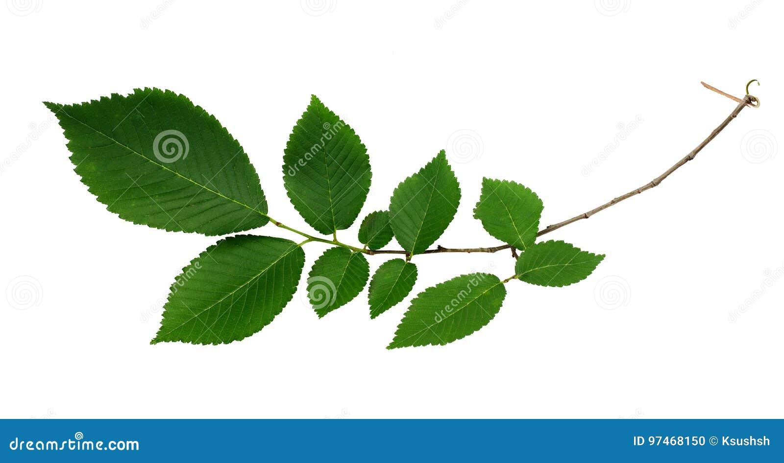 Gałąź świezi zieleni wiązów liście