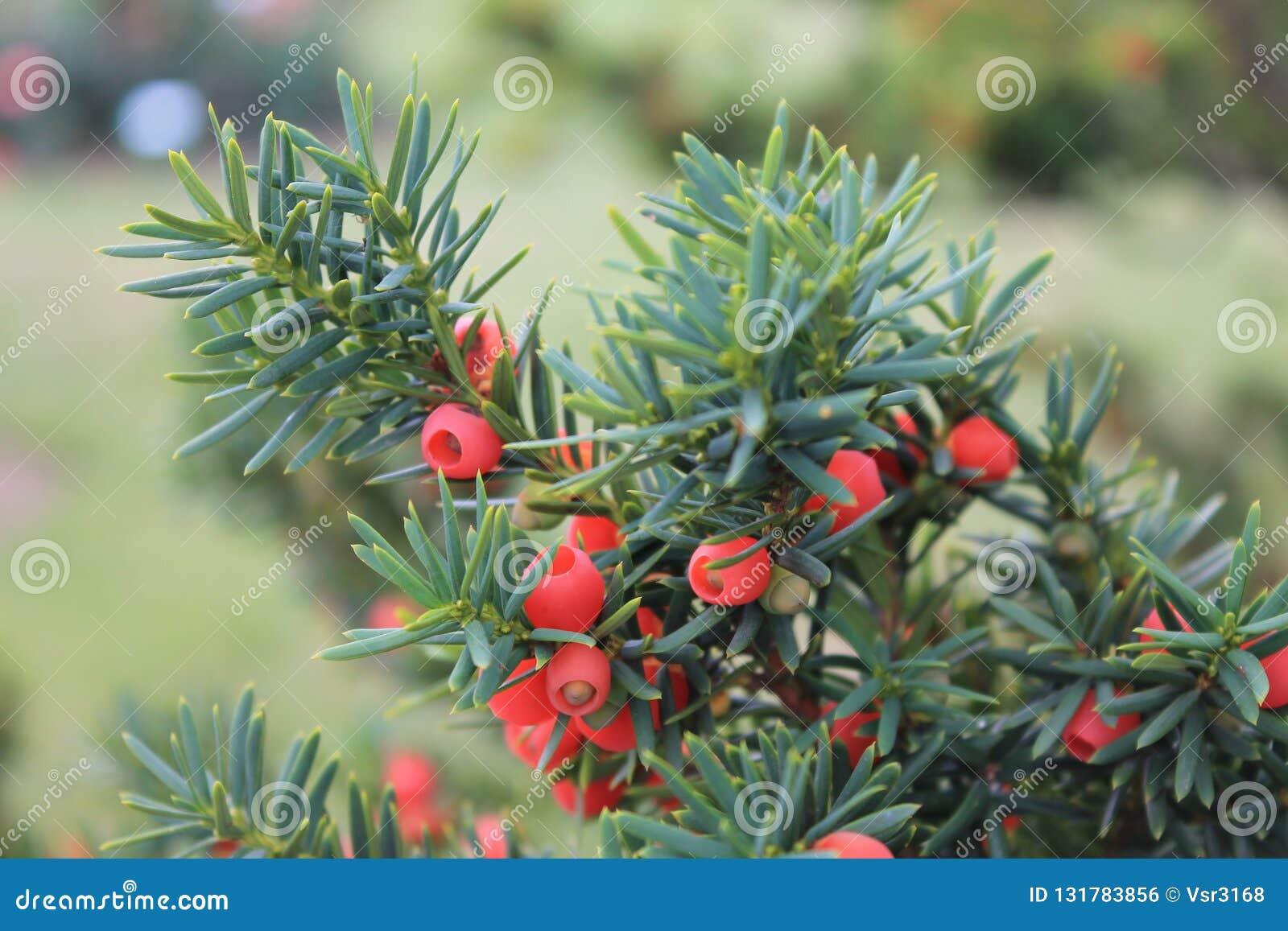 Gałąź cisowy z czerwonymi jagodami kiwa w wiatrze Gałąź yews na odosobnionym tle