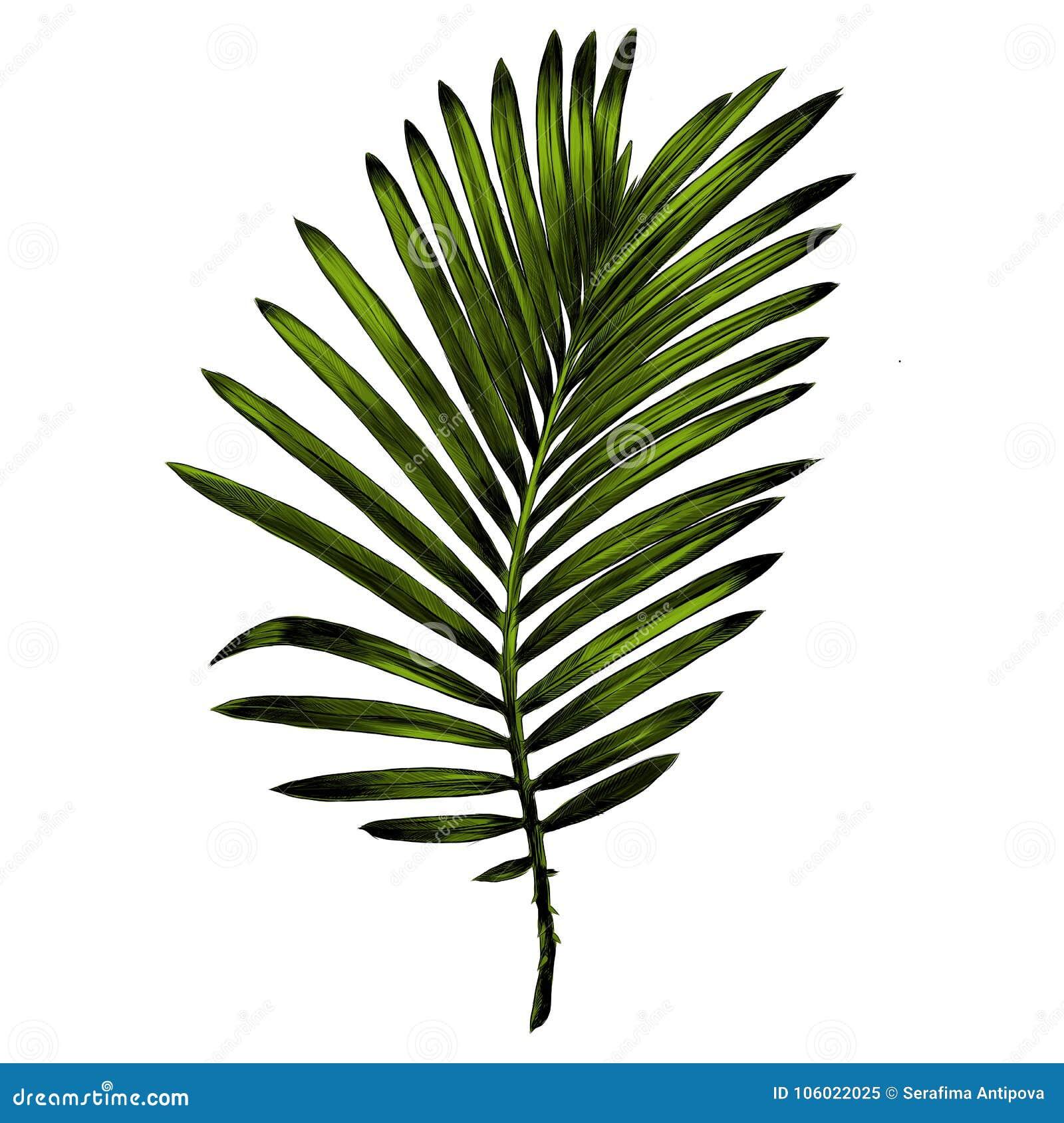 Gałąź drzewka palmowego nakreślenia wektorowe grafika