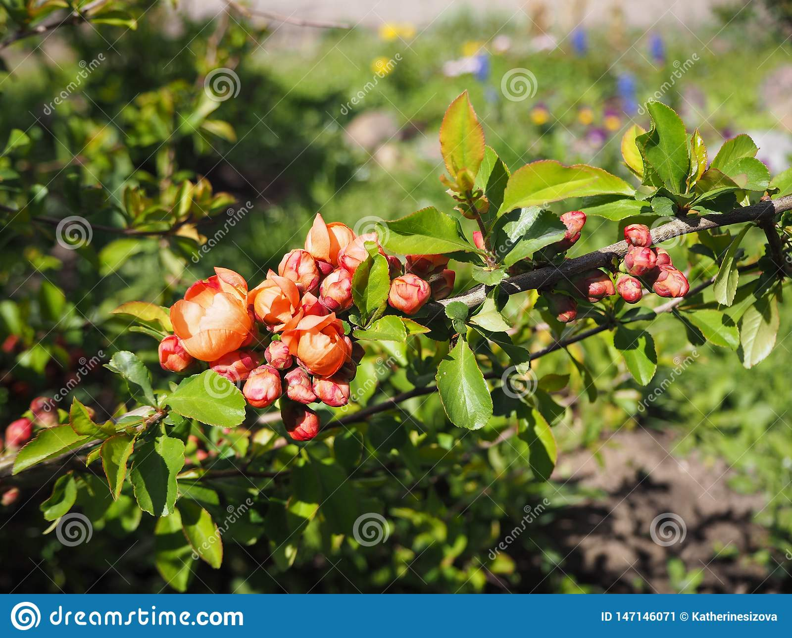 Gałąź drzewny kwitnienie z czerwienią kwitnie na słonecznym dniu