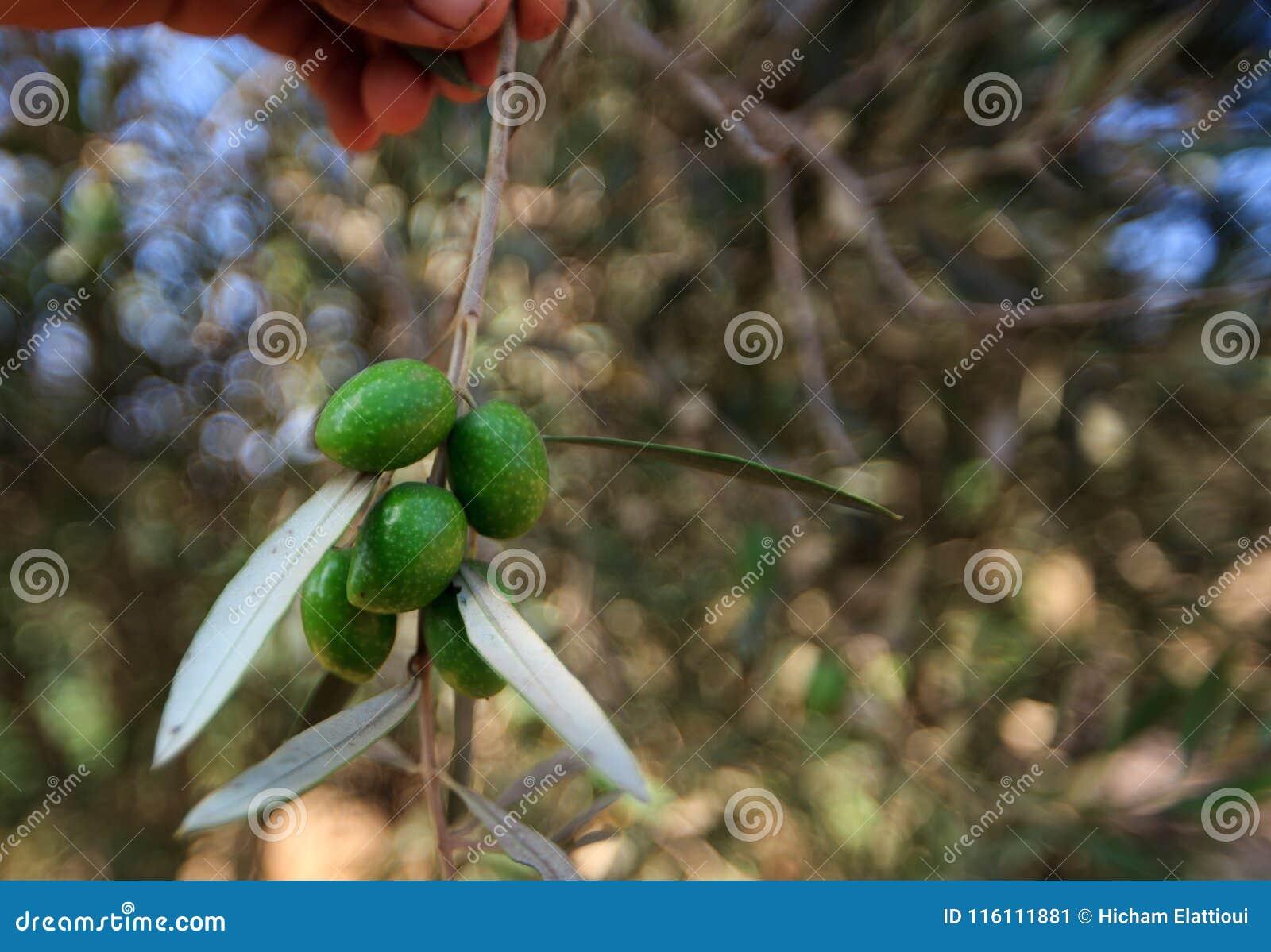 Gałąź drzewo oliwne z owoc i liśćmi