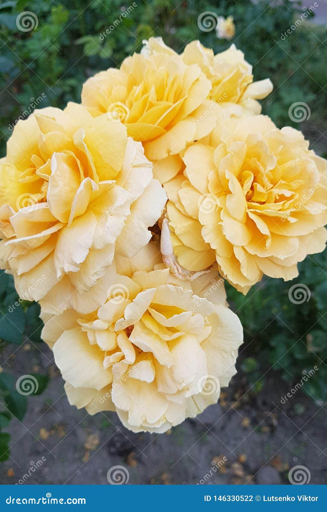 Gałąź duże kremowe róże w zielenieje ogród