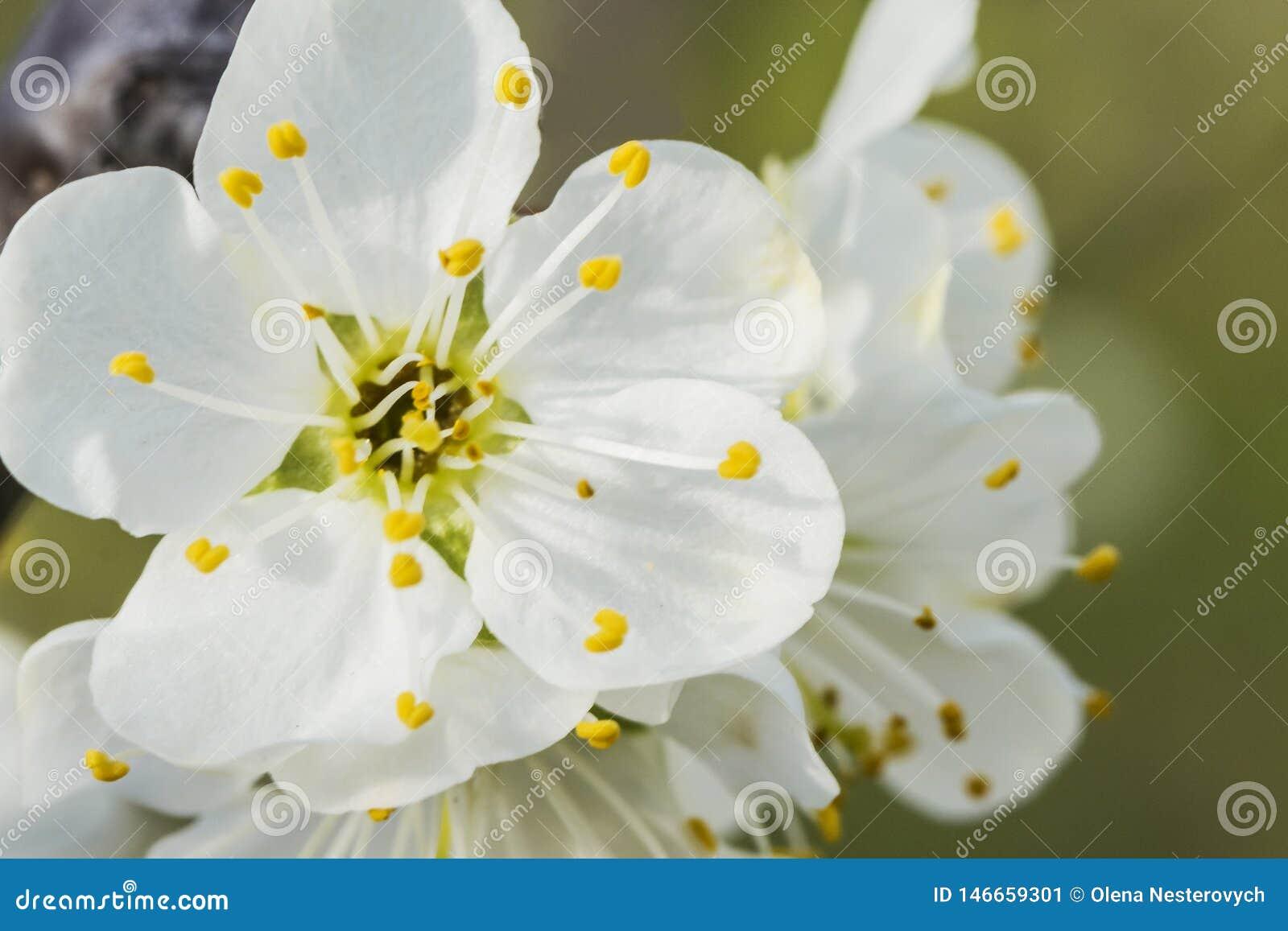 Gałąź jabłko w białym kwiacie, zakończenie w górę
