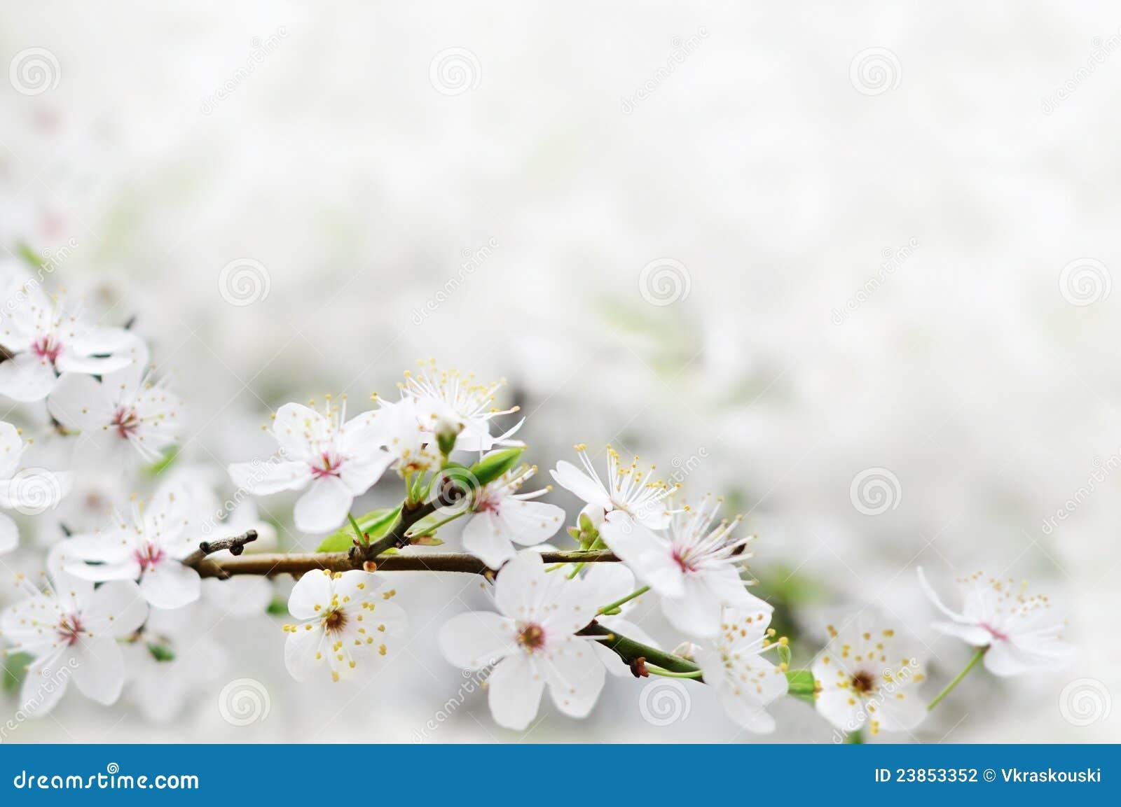 Gałąź kwitnie drzewnego wiosna biel