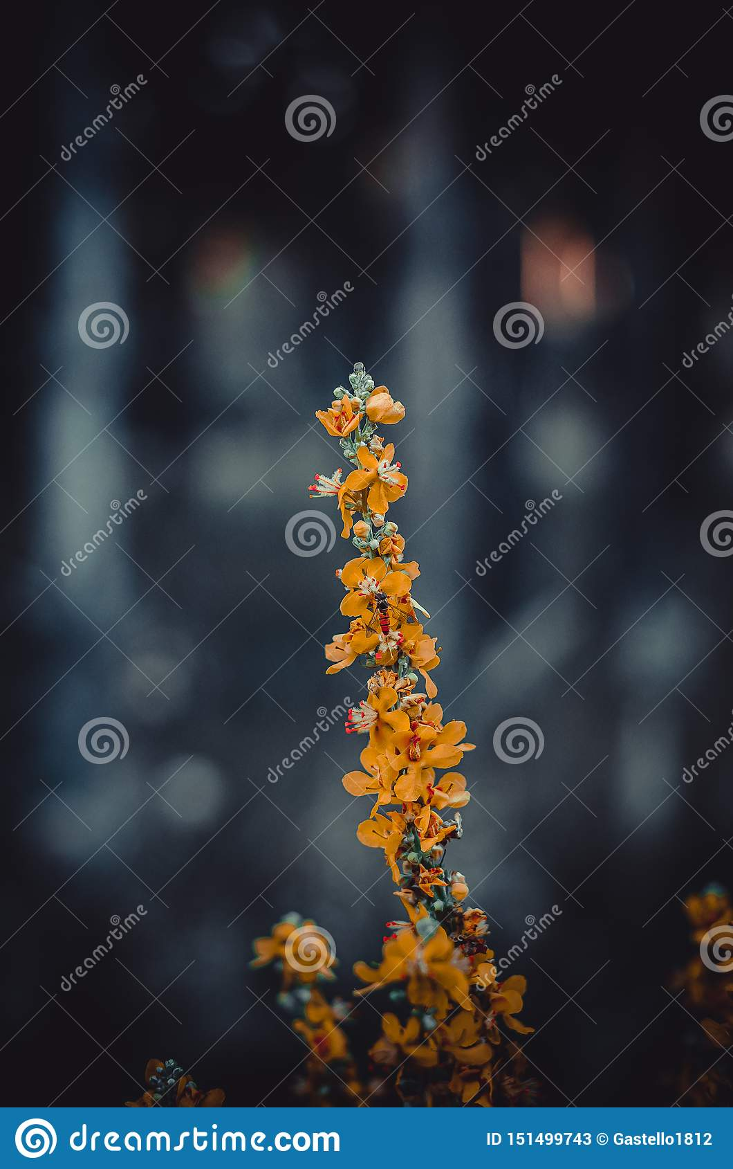 Gałąź lasowa trawa z jaskrawymi pomarańczowymi kwiatami Trochę ledwo odczuwalna pszczoła wśród kwiatów Makro- jutrzenkowy w?a?nie
