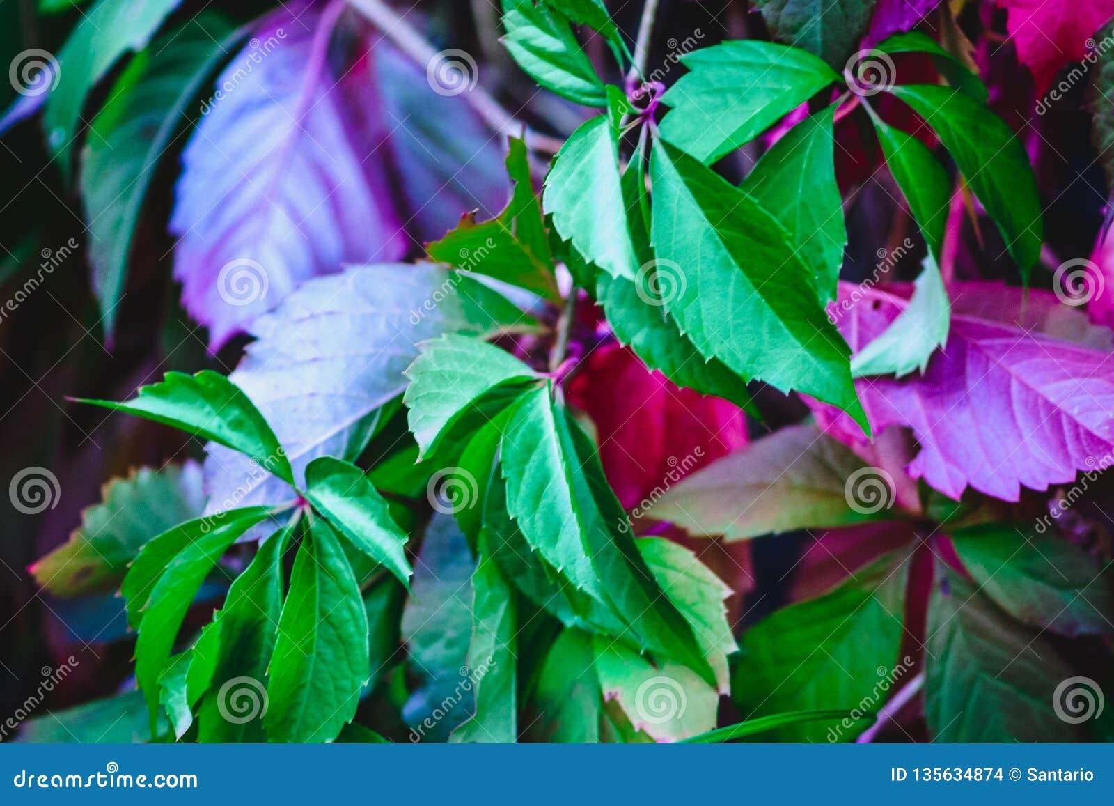 Gałąź, liście dekoracyjni winogrona z małymi jagodami