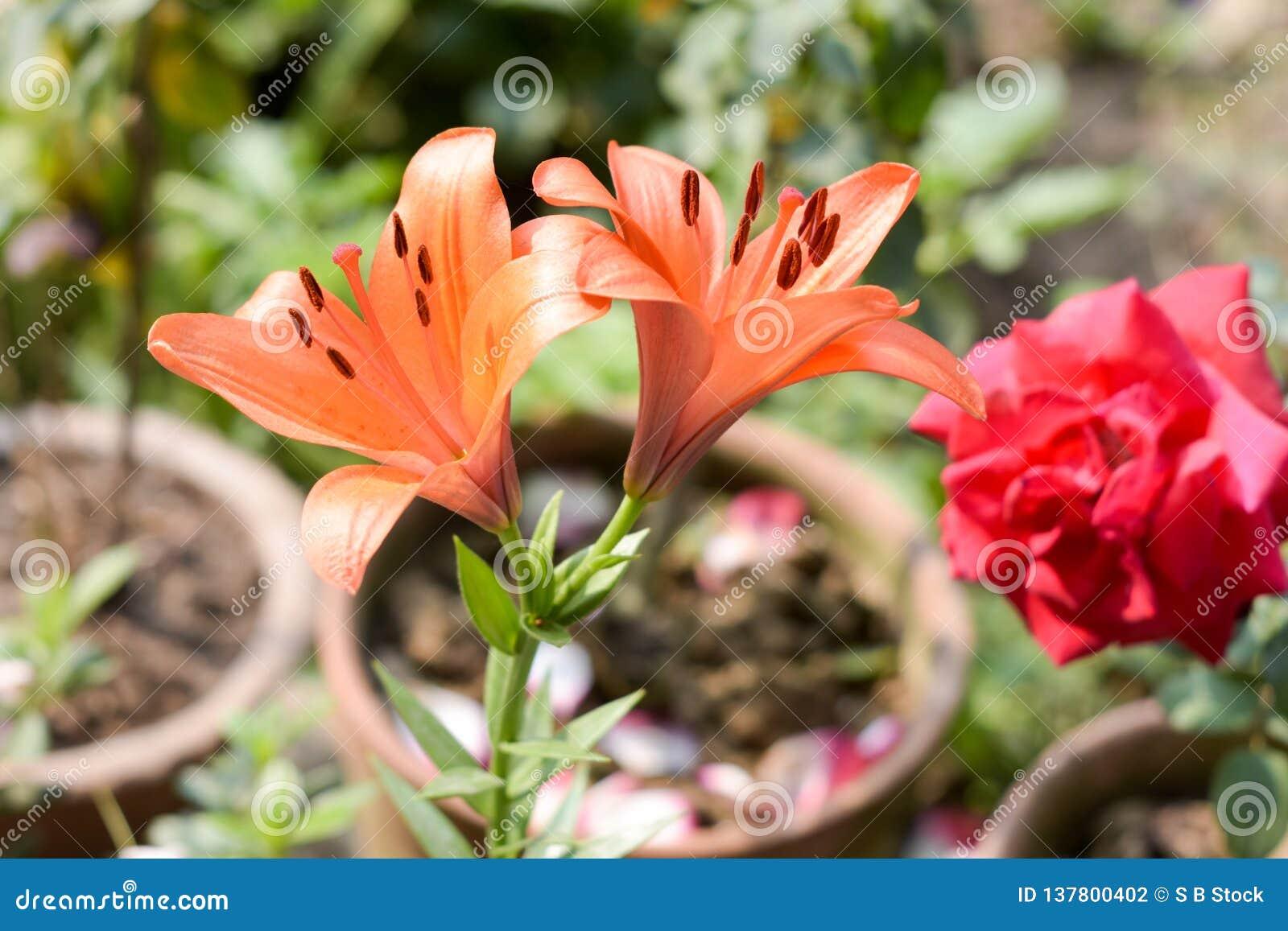 Gałąź Tubowego winogradu lub tubowego pełzacza Campsis radicans kwitnie, zna jako krowa świąd lub hummingbird winograd w kwiacie
