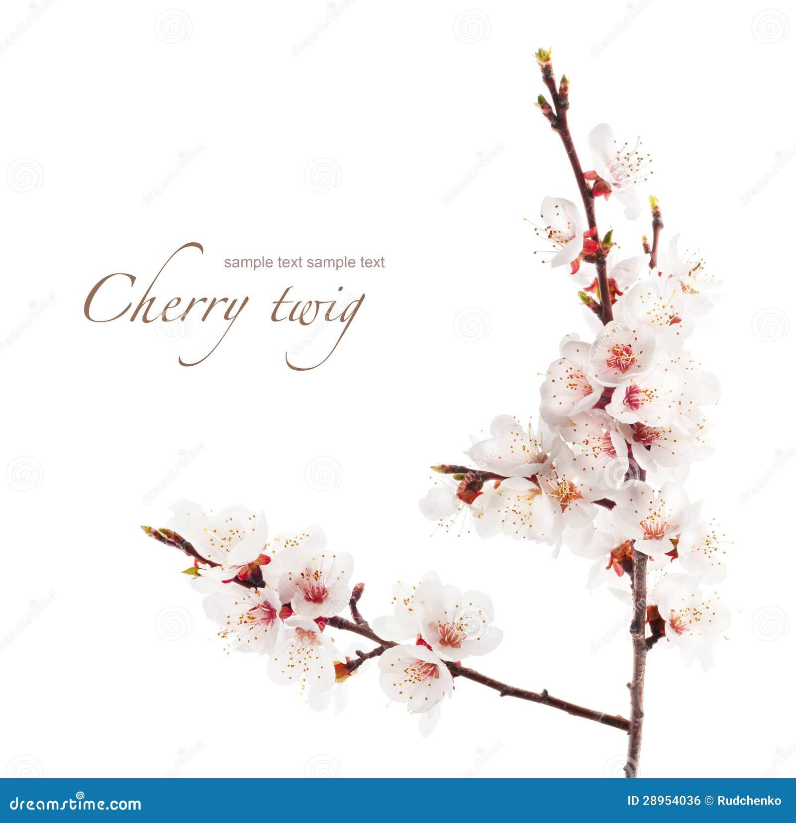Gałąź wiśnia w kwiacie