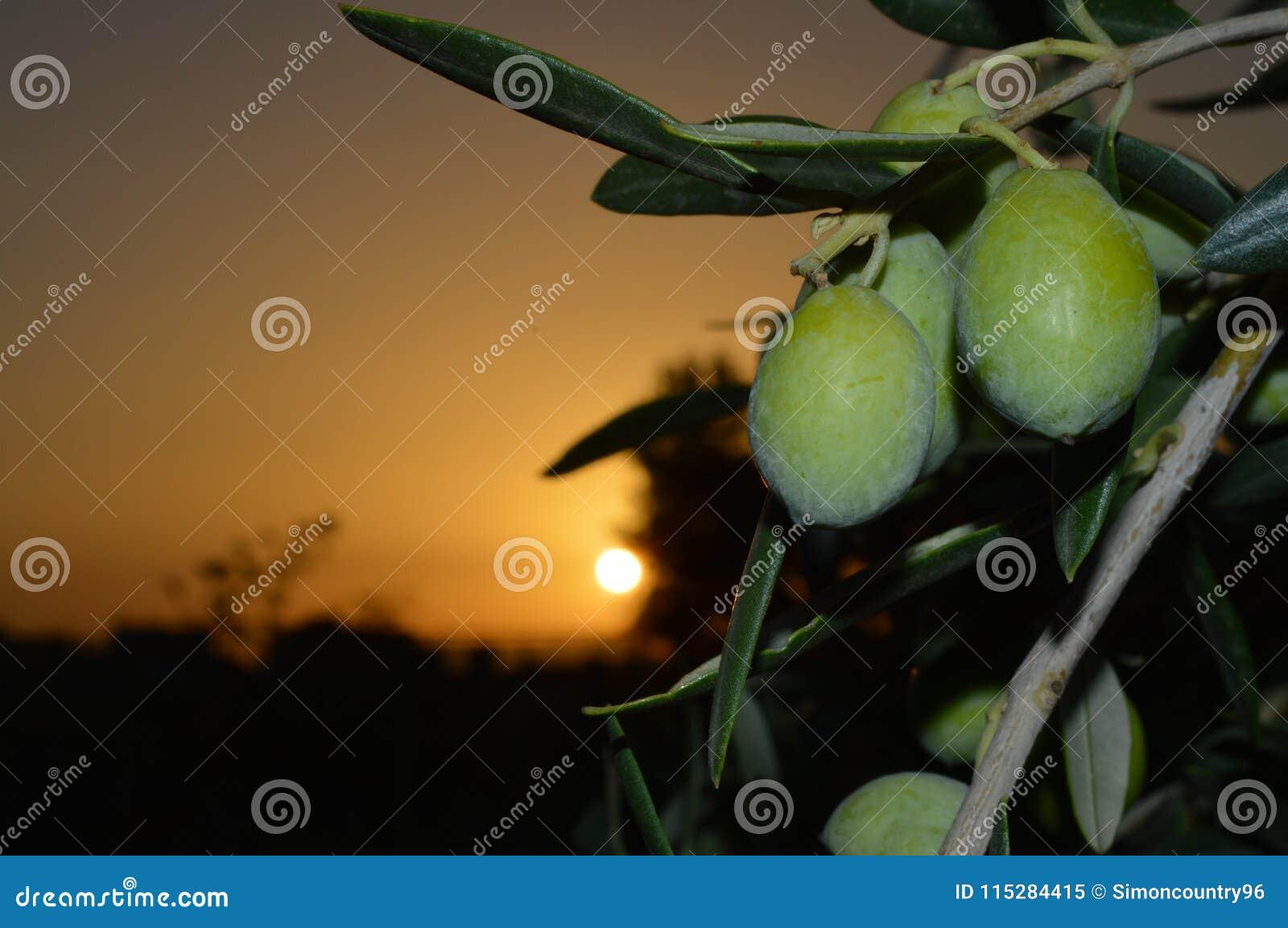 Gałązka Oliwna z owoc Podczas Pięknego wschodu słońca, Sycylijski tło