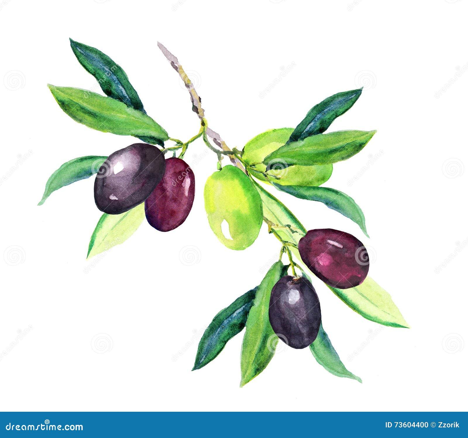Gałązka oliwna - zieleń, czarne oliwki akwarela