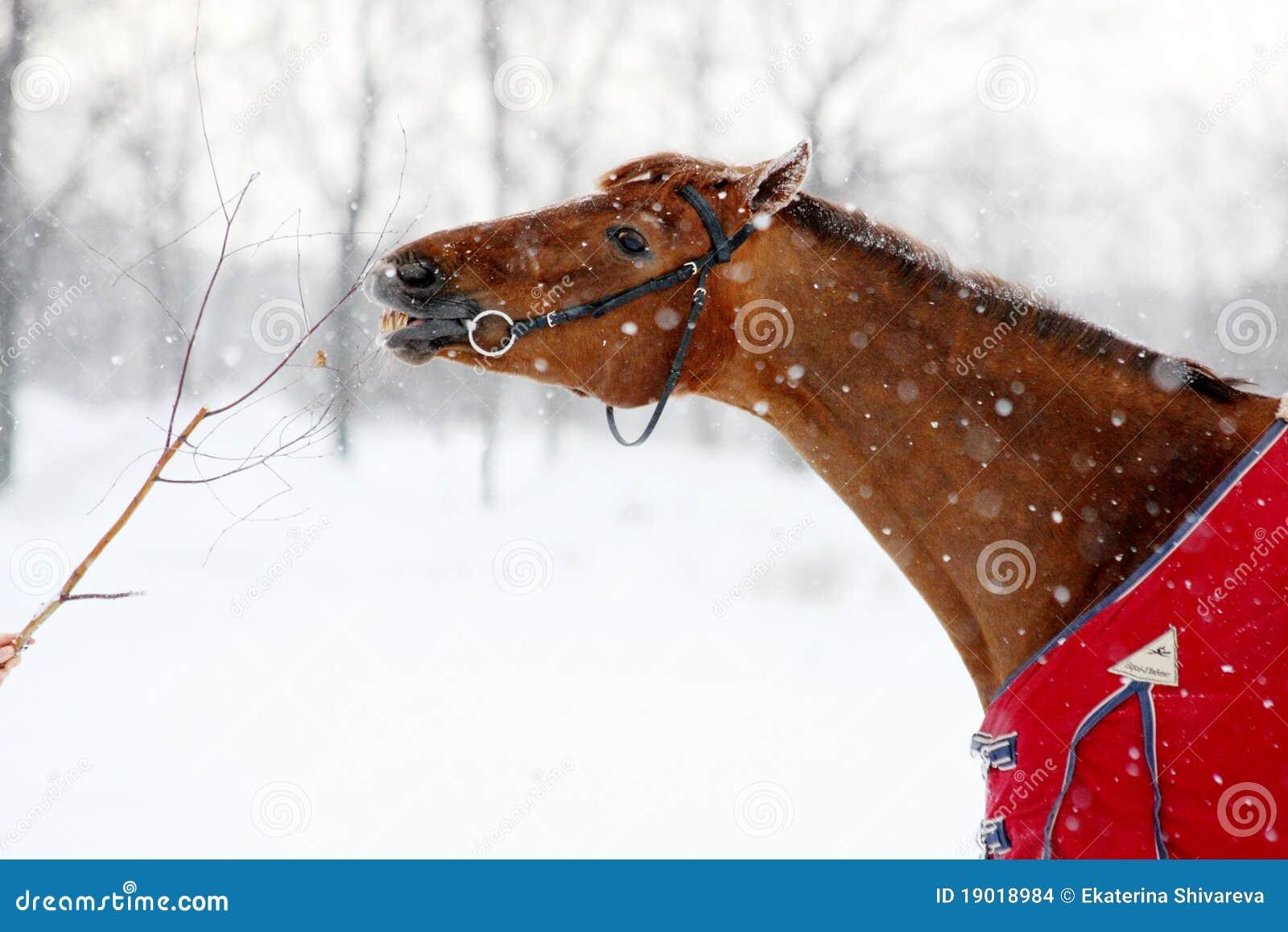 Gałęziastego łasowania końska czerwona zima