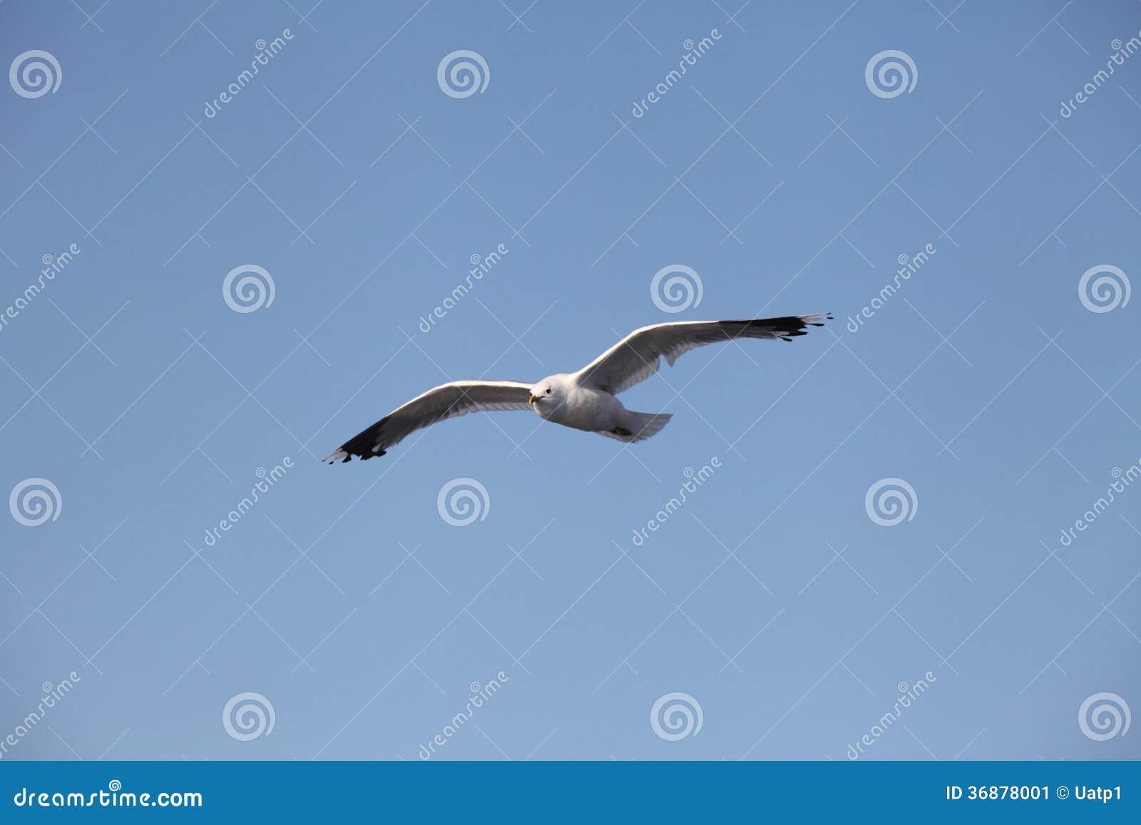 Download Gabbiani immagine stock. Immagine di selvaggio, cielo - 36878001
