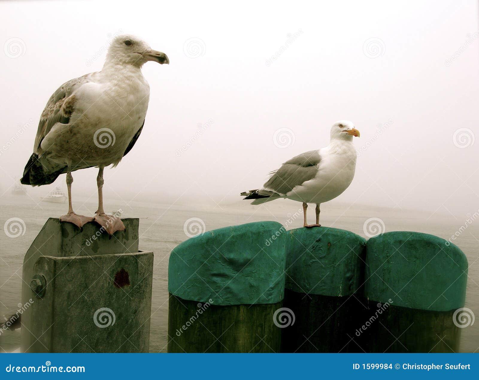 Gabbiani del Capo Cod