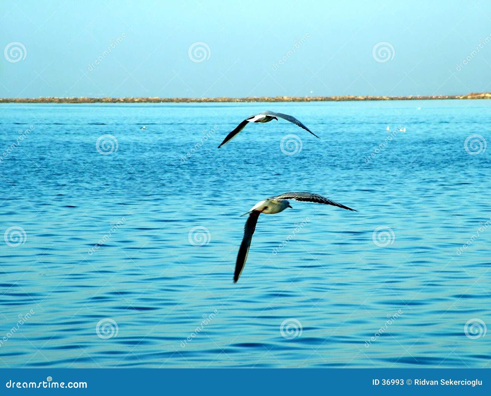 Gabbiani di mare