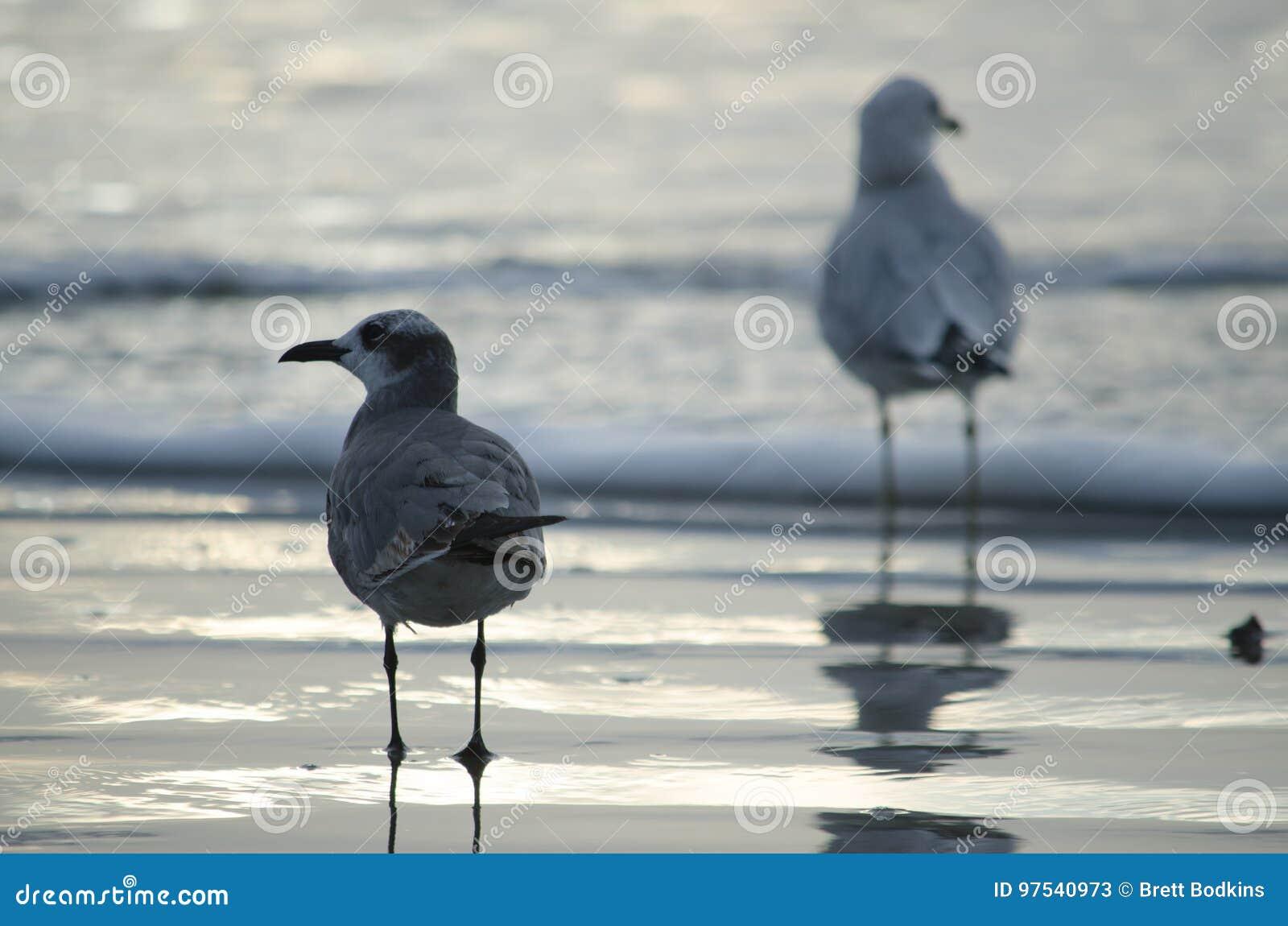 Gabbiani Giallo-forniti di gambe sulla spiaggia