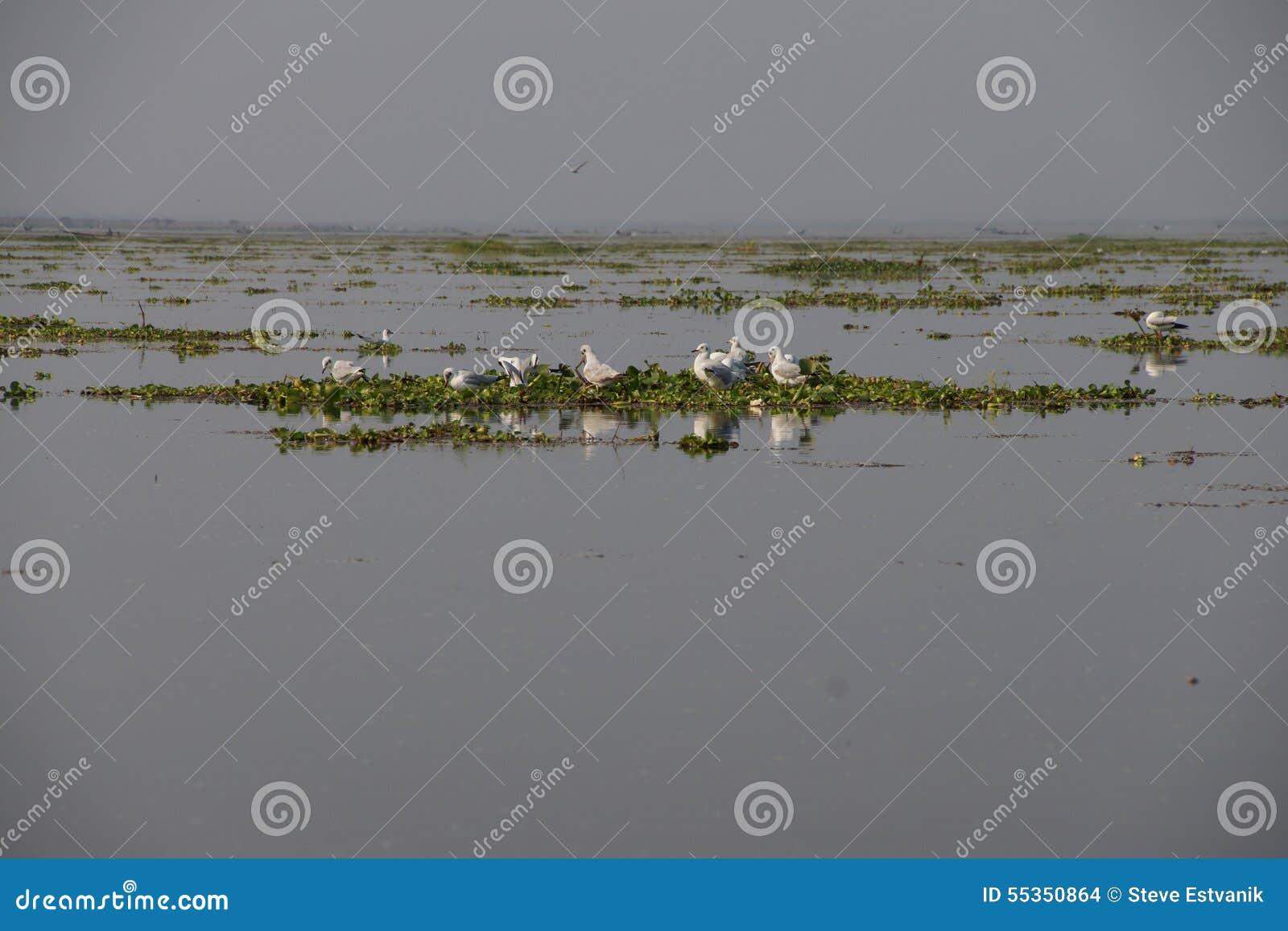 Gabbiani sul giacinto d acqua
