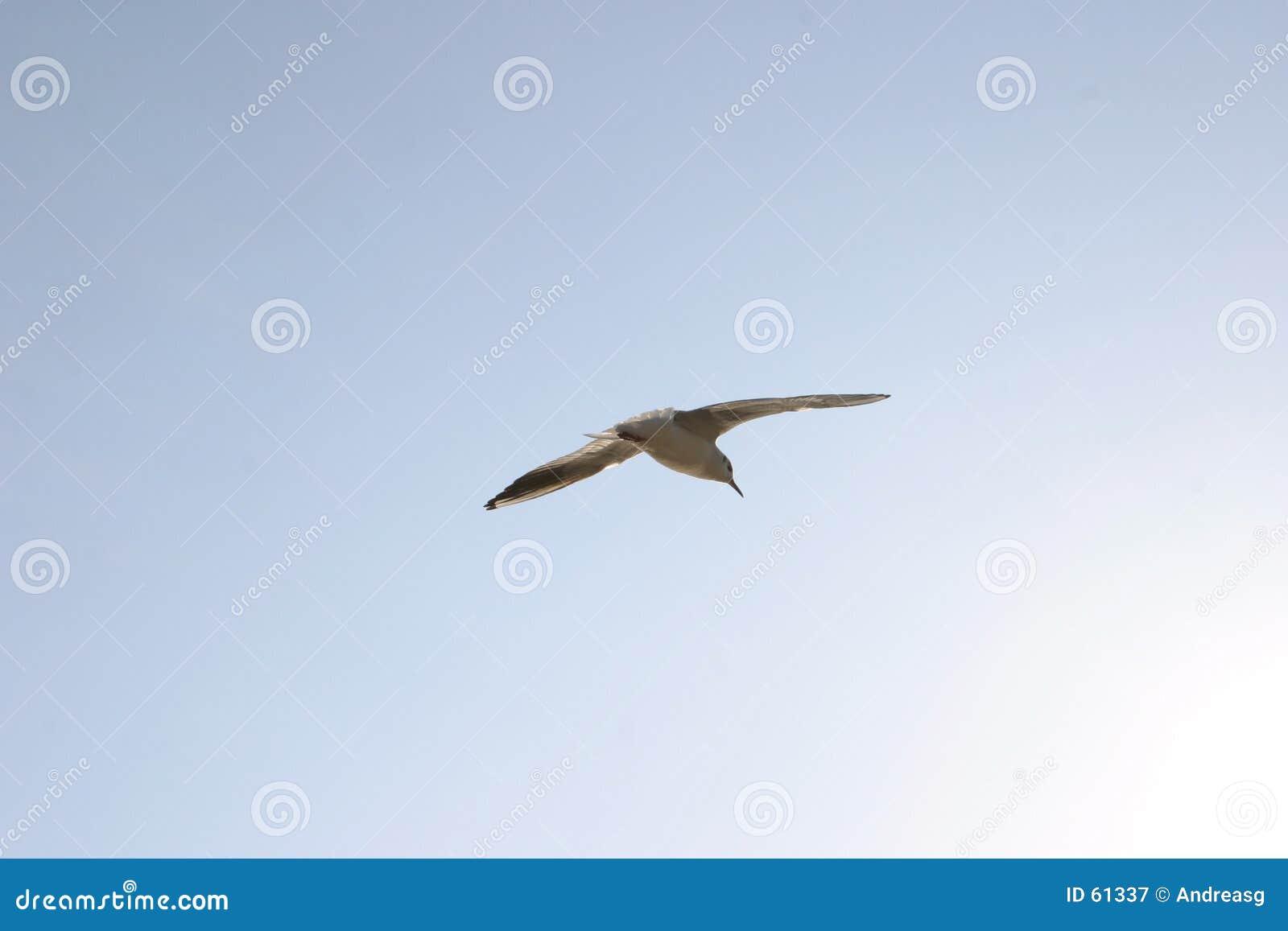 Gabbiano 1 di volo