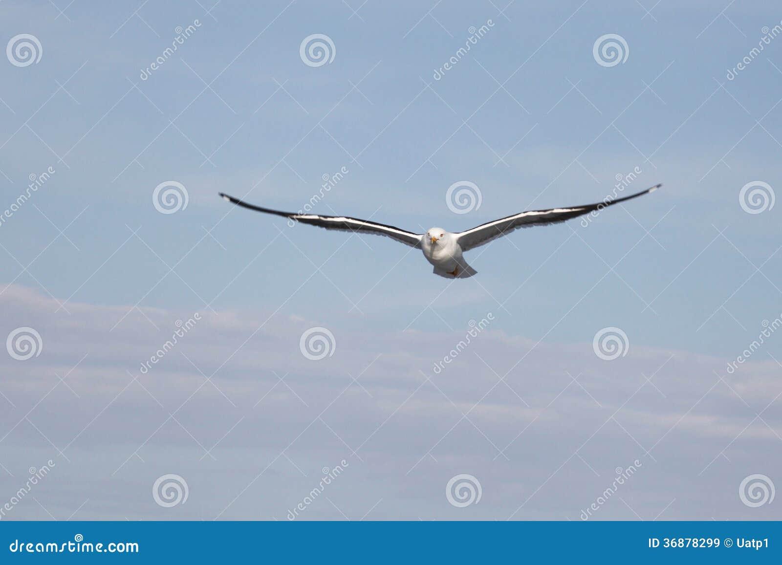 Download Gabbiano immagine stock. Immagine di gull, piuma, immagine - 36878299