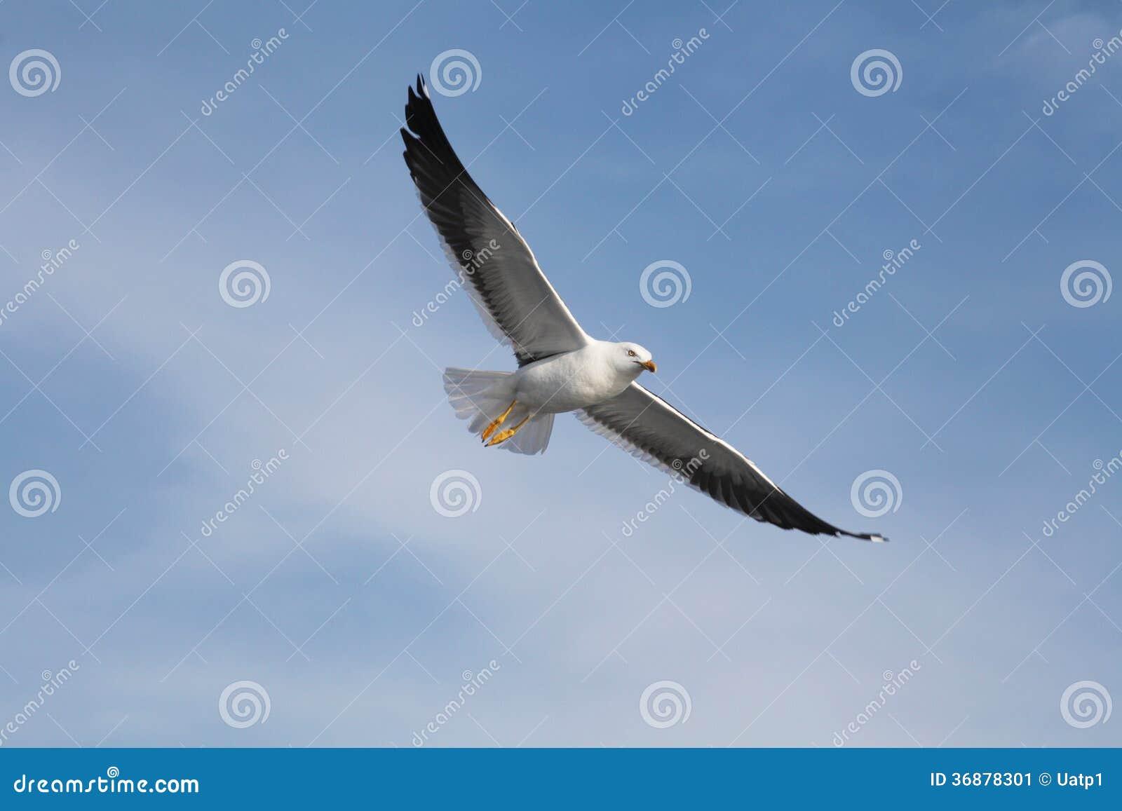 Download Gabbiano immagine stock. Immagine di bianco, gull, gabbiano - 36878301