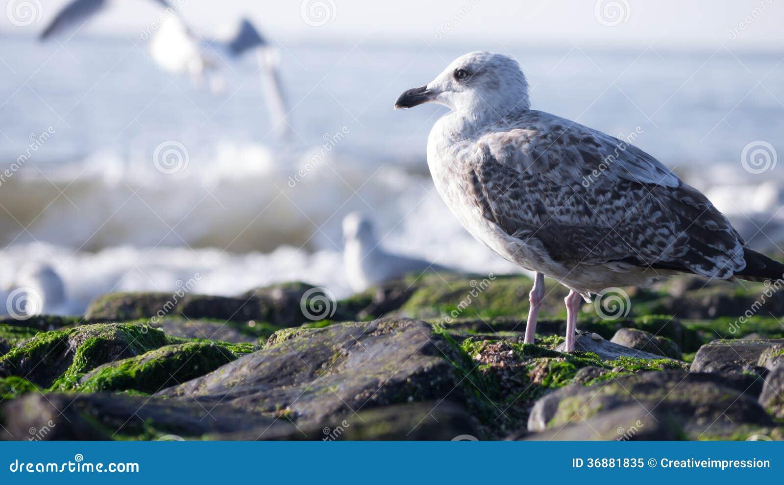 Download Gabbiano al mare immagine stock. Immagine di mare, pietra - 36881835