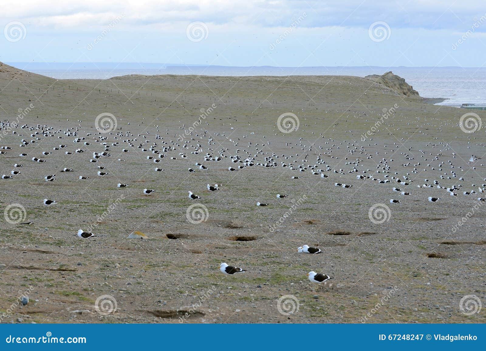 Gabbiano del fuco, anche conosciuto come il gabbiano domenicano, annidante al santuario del pinguino su Magdalena Island nello St
