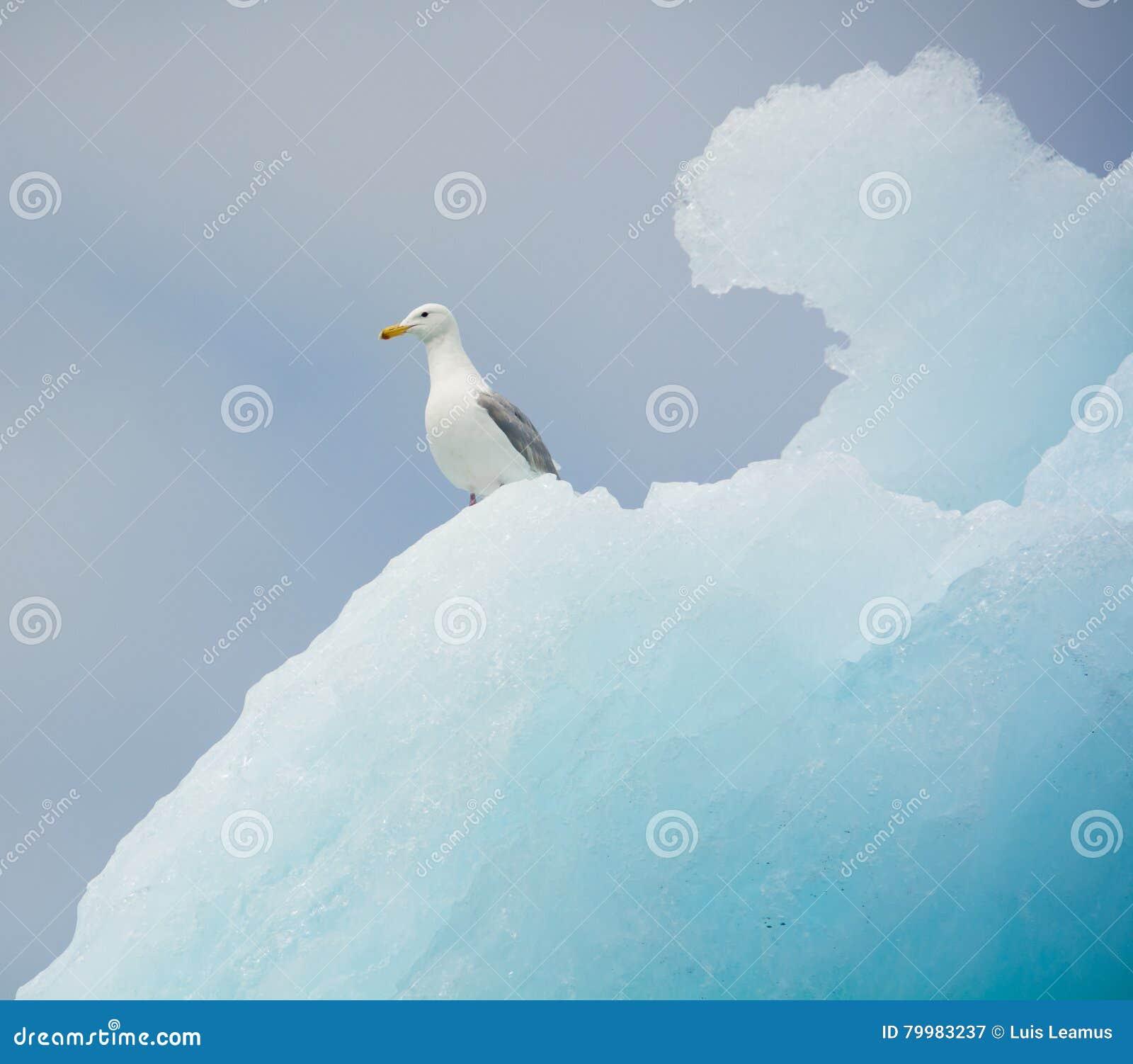 Gabbiano glauco su un iceberg, ghiacciaio di Colombia, Alaska