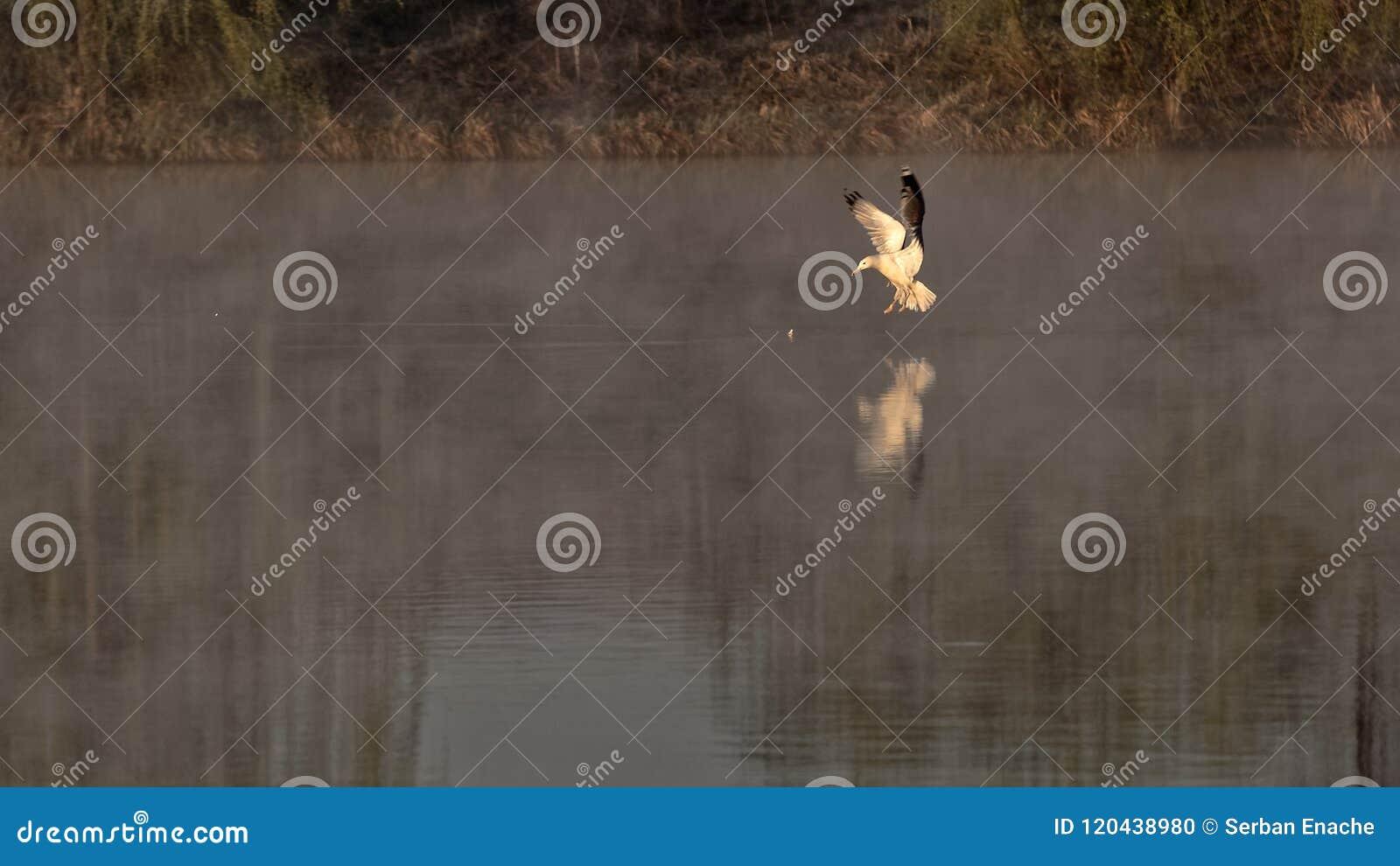 Gabbiano sul lago, Corbeanca, il distretto di Ilfov, Romania