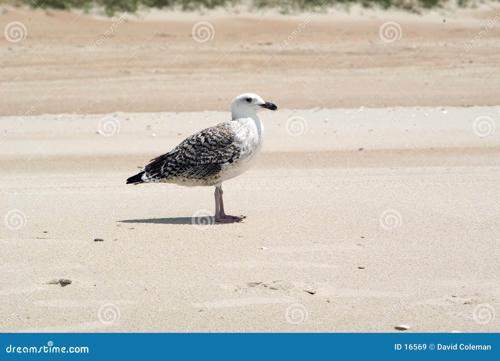 Gabbiano sulla spiaggia