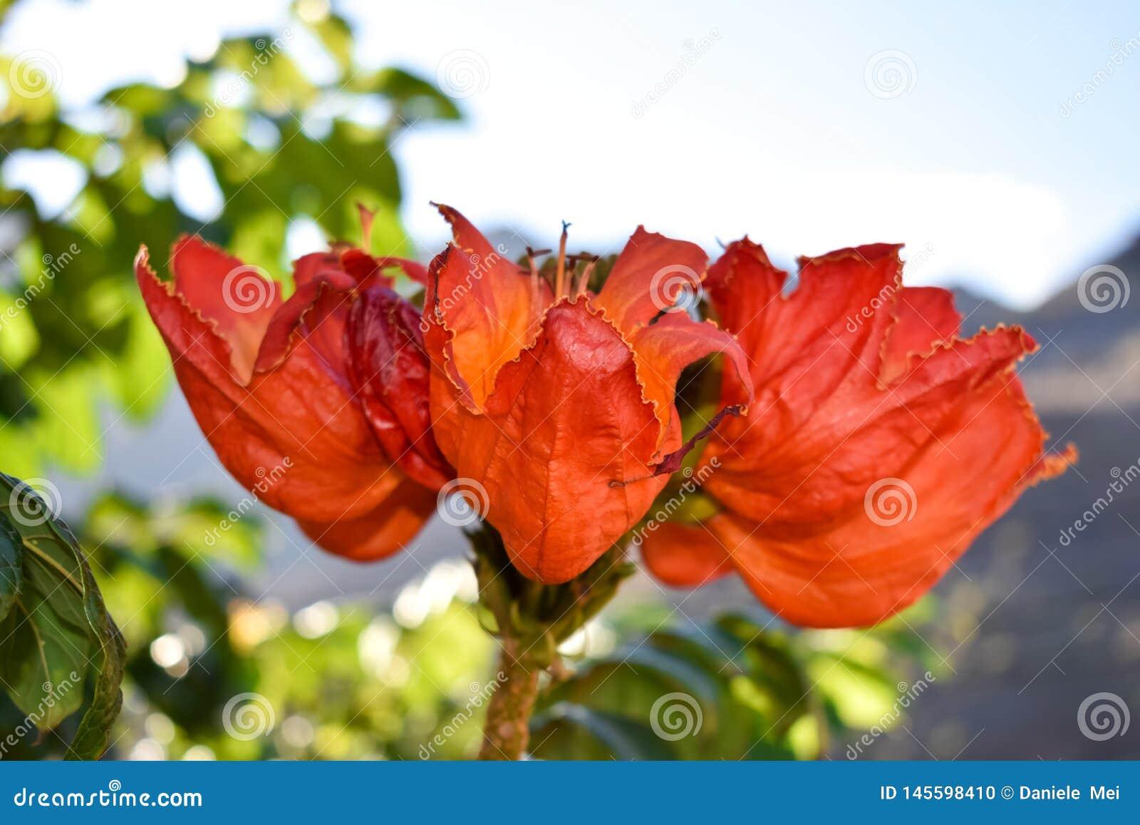 Gabon Tulip Flower