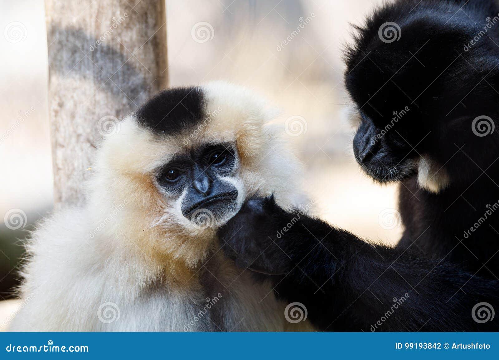 Gabriellae Nomascus гиббоновых Primatte желтые-cheeked