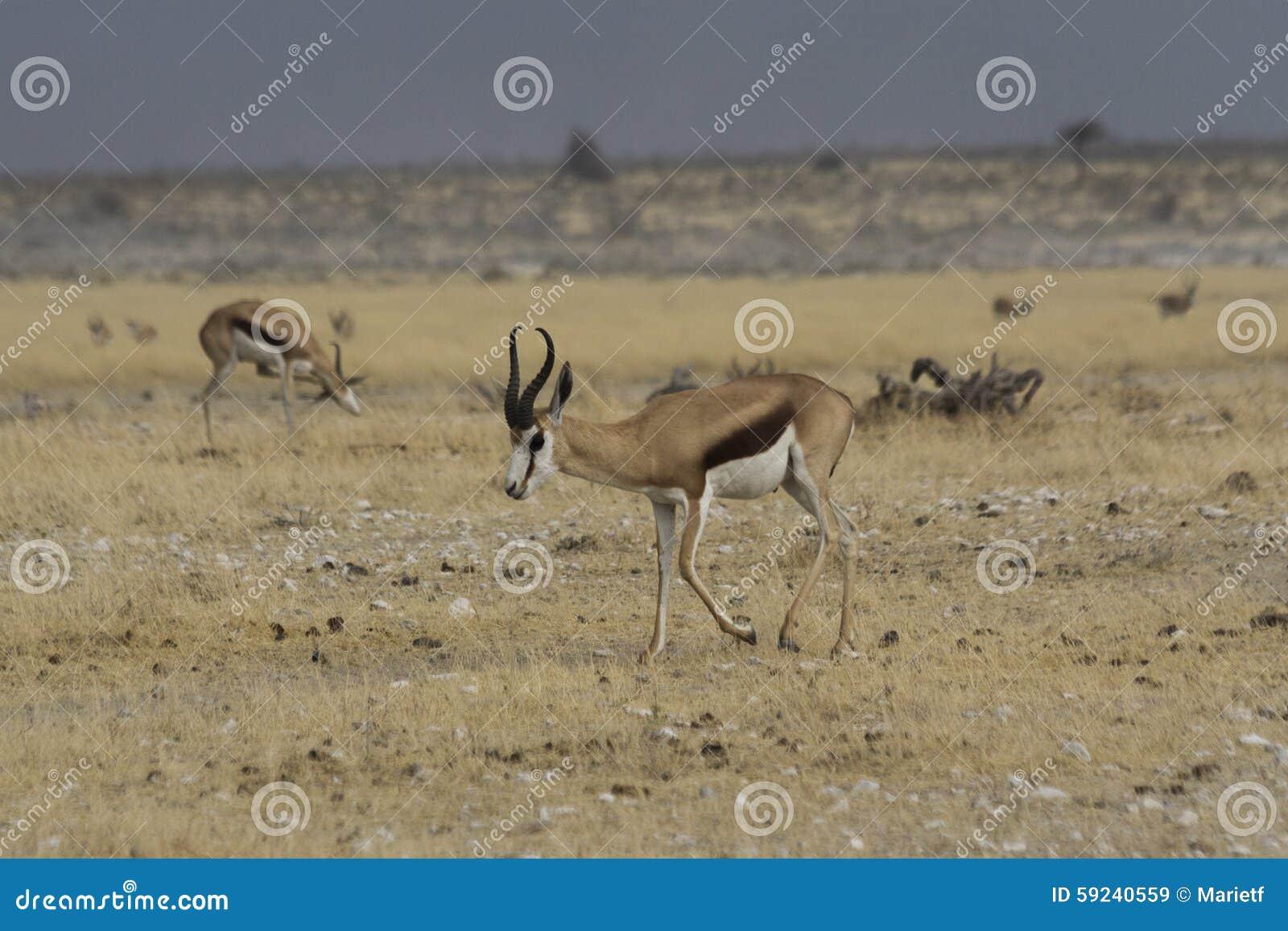 Download Gacela Que Camina En El Parque Nacional De Etosha, Namibia Imagen de archivo - Imagen de horned, gazelle: 59240559